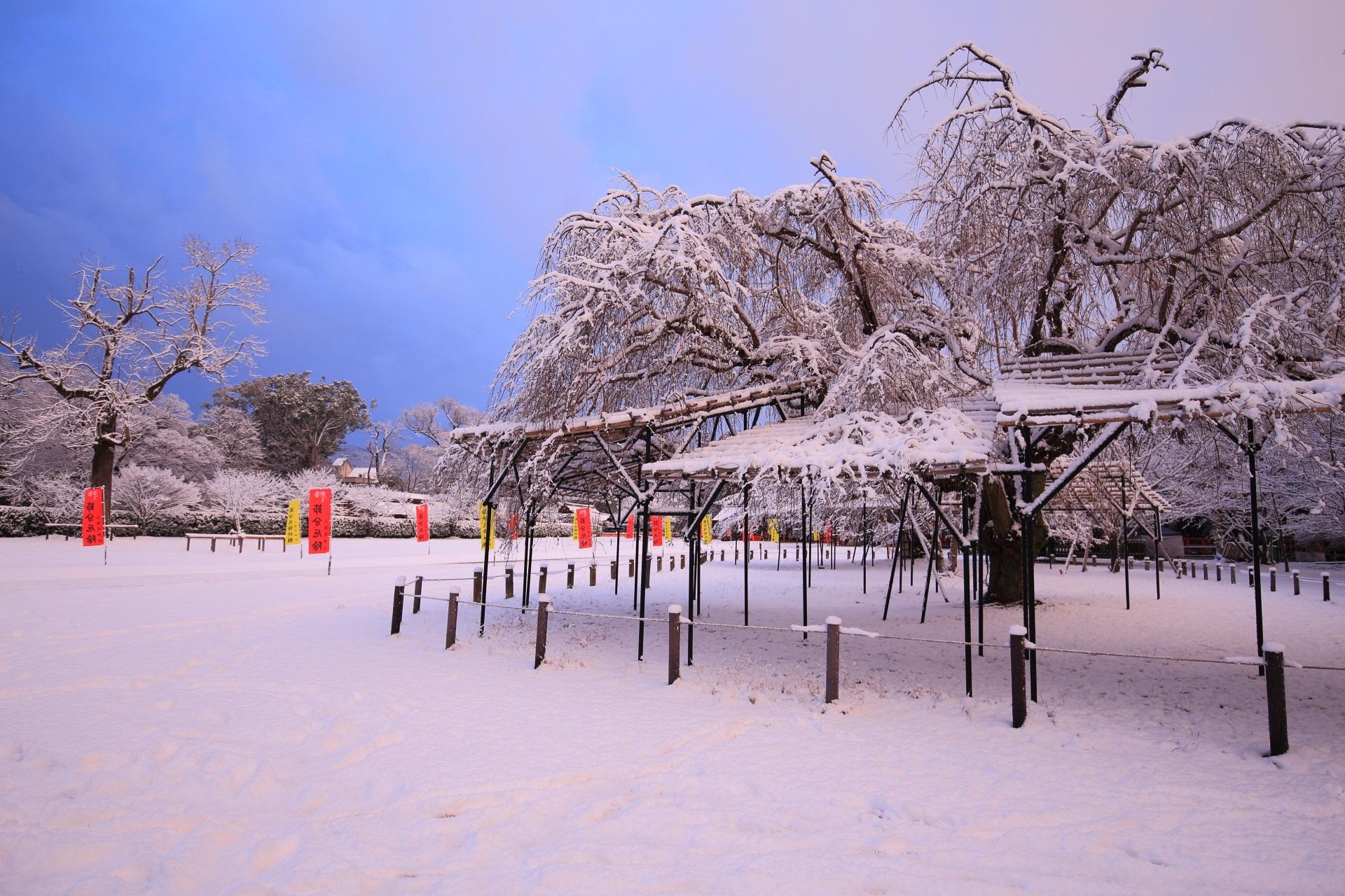 上賀茂神社の青空の下で咲き誇る雪の斎王桜