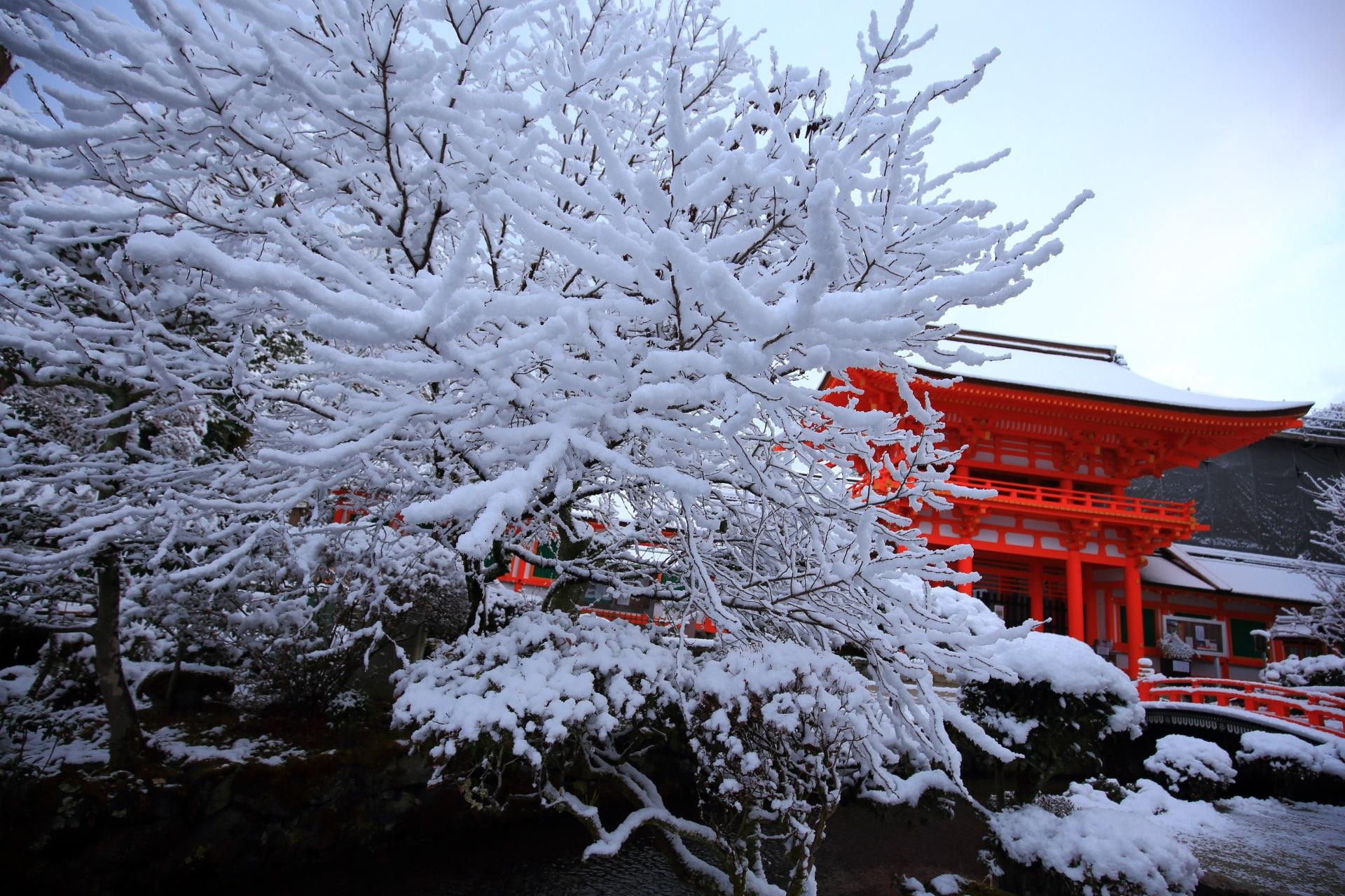 上賀茂神社の豪快に咲き誇る雪の花と楼門