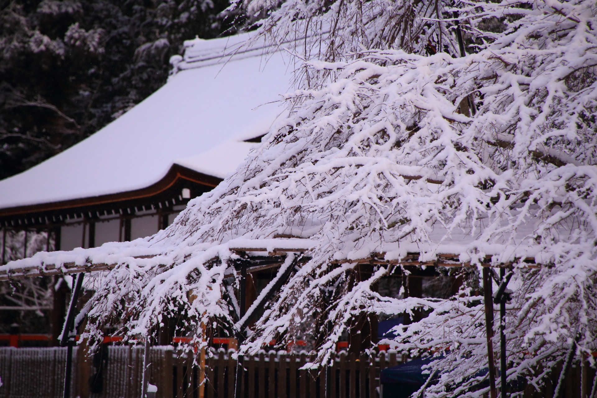 上賀茂神社の御所舎と満開の雪の華