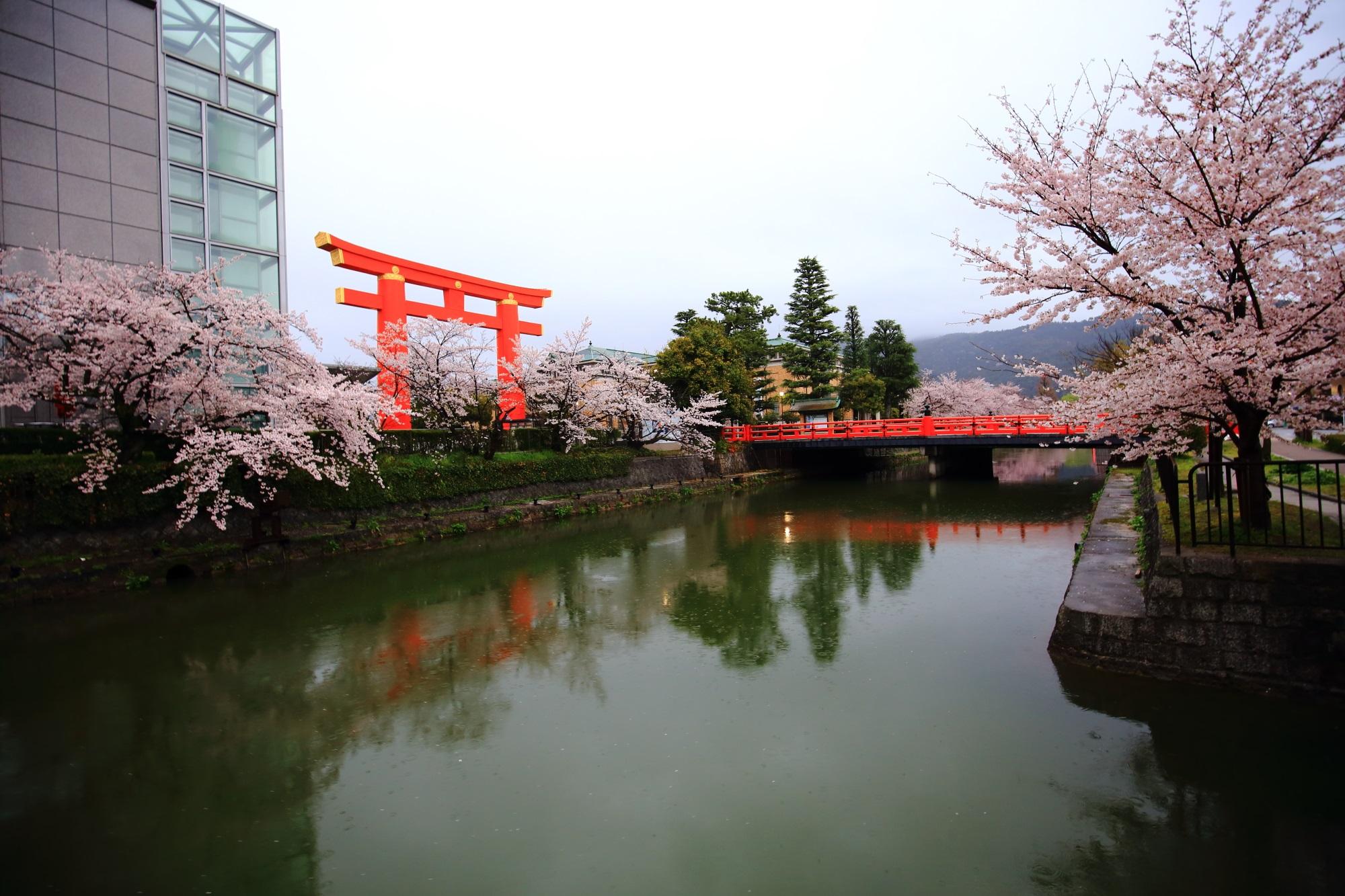 岡崎疏水の満開の桜と平安神宮の鳥居