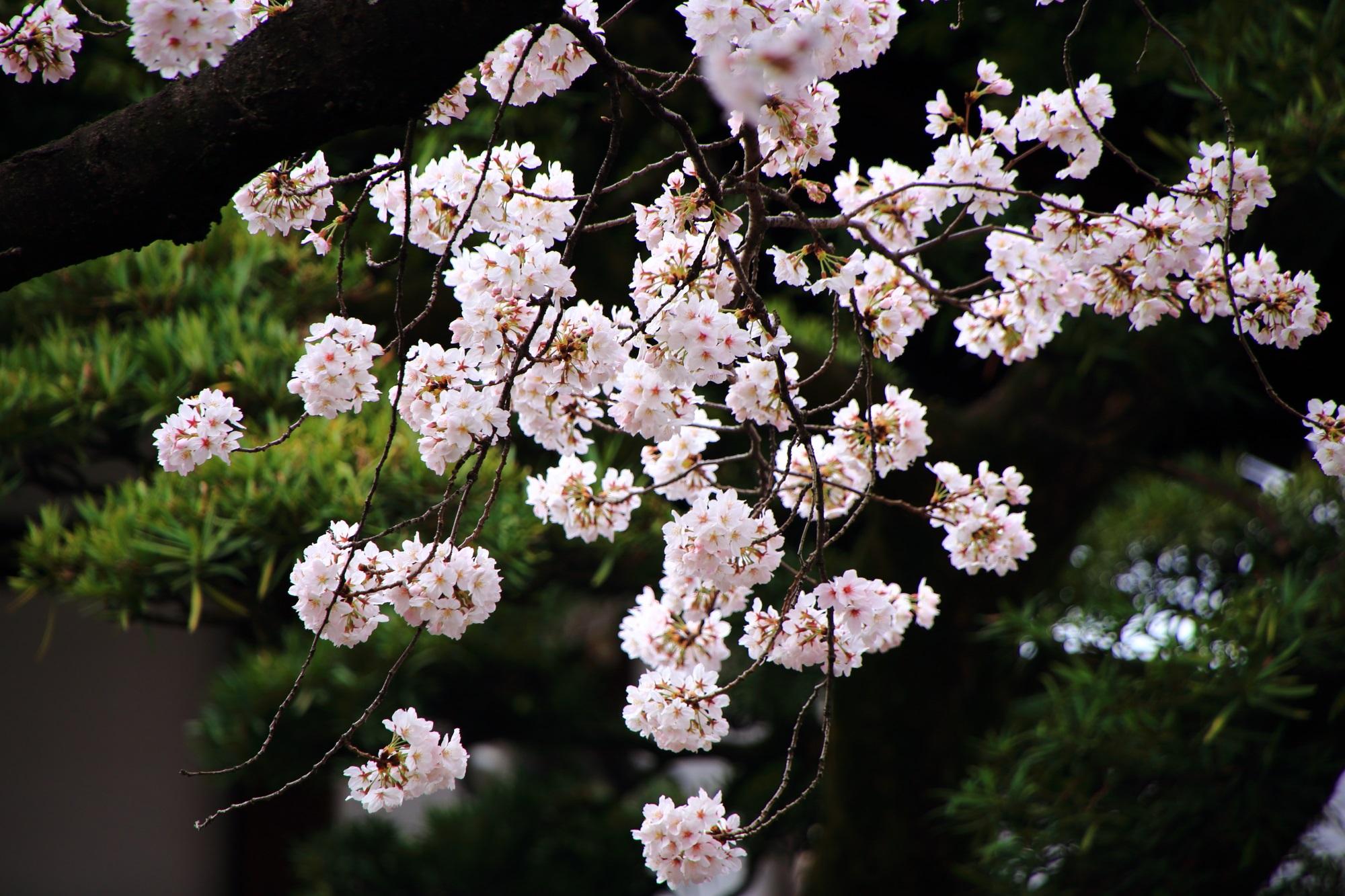 桜の穴場の墨染寺の満開の美しい桜
