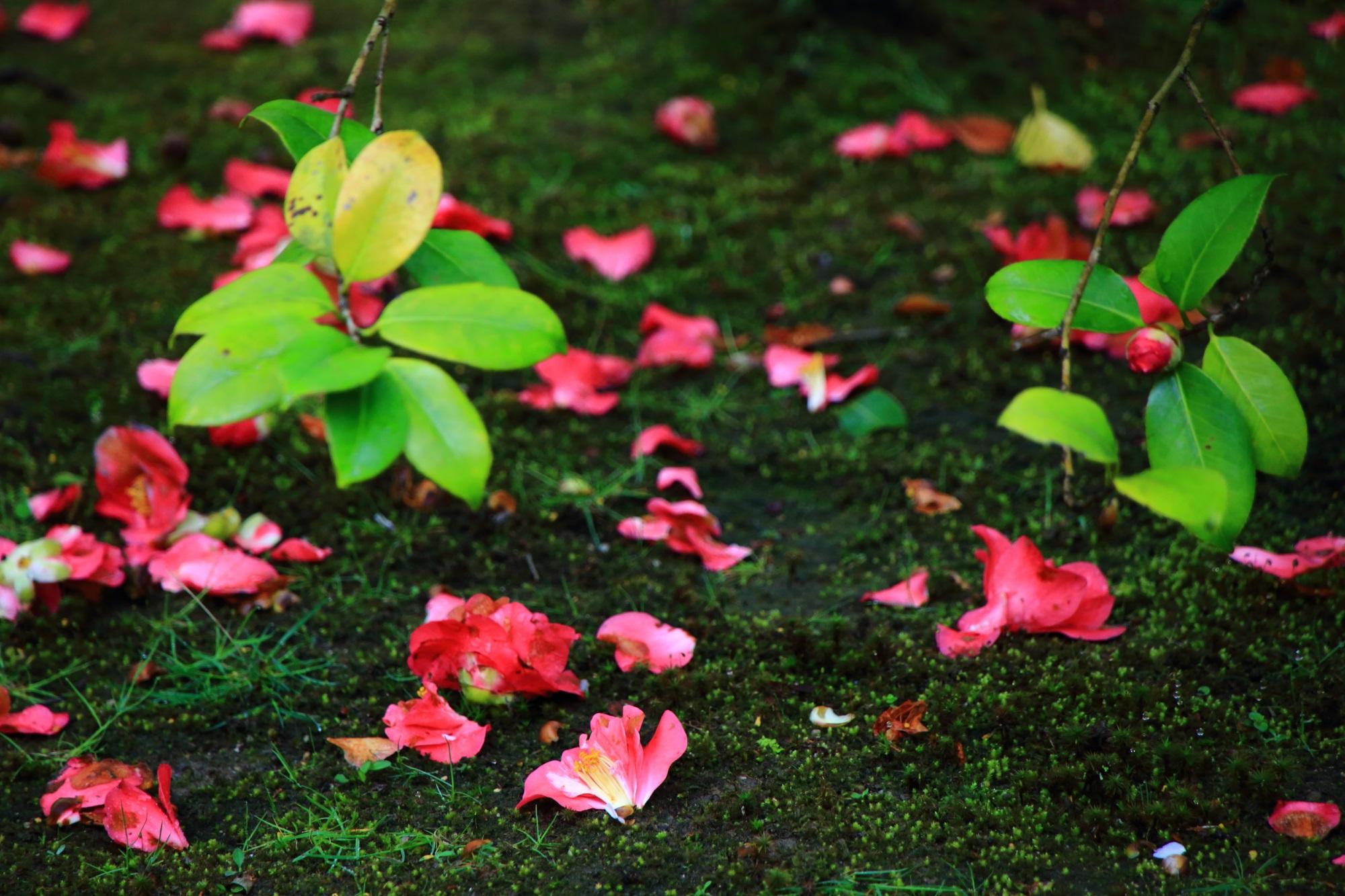 緑の苔に散る鮮やかな椿