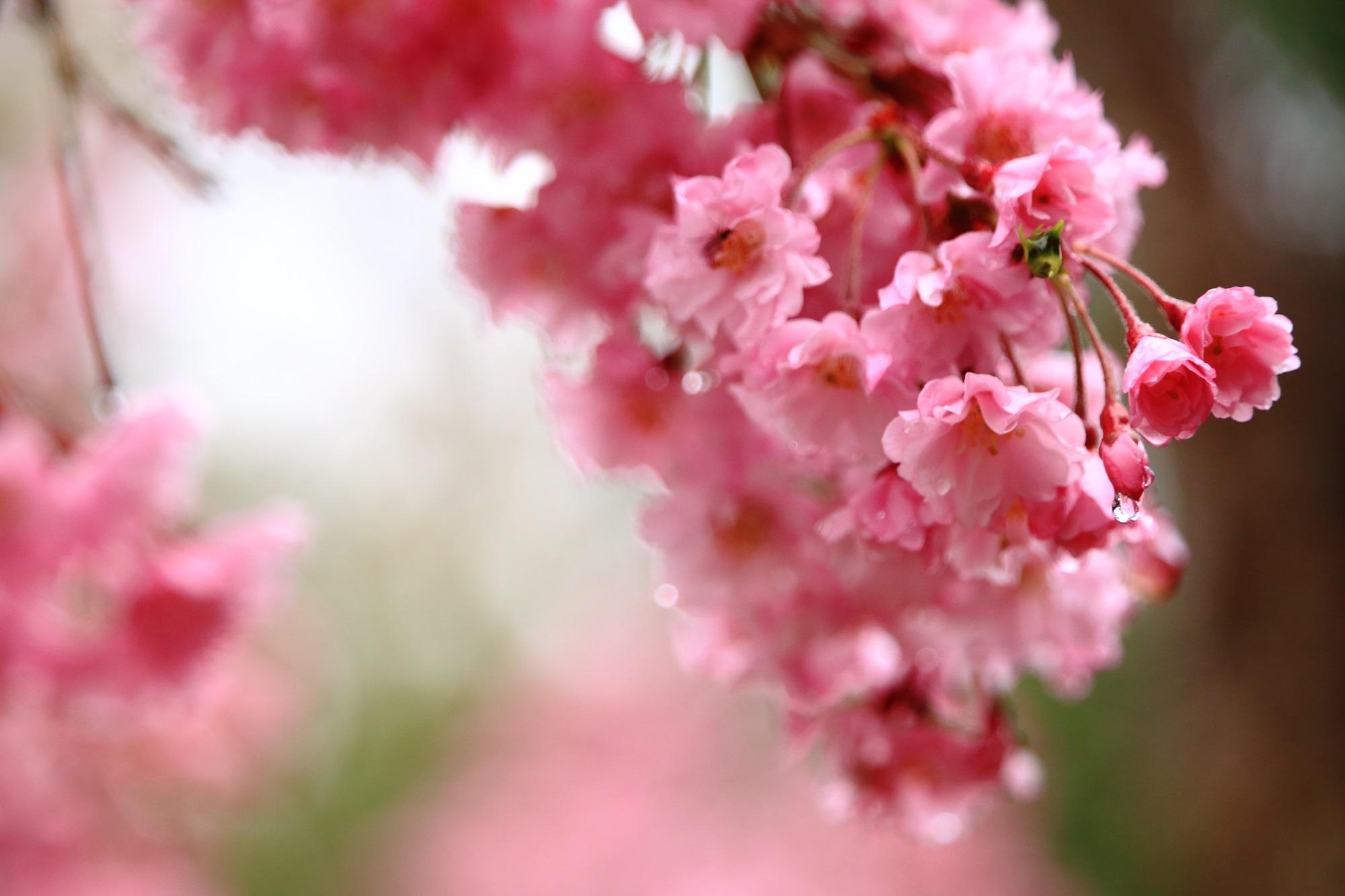 雨に濡れてほのかに境内を彩る桜