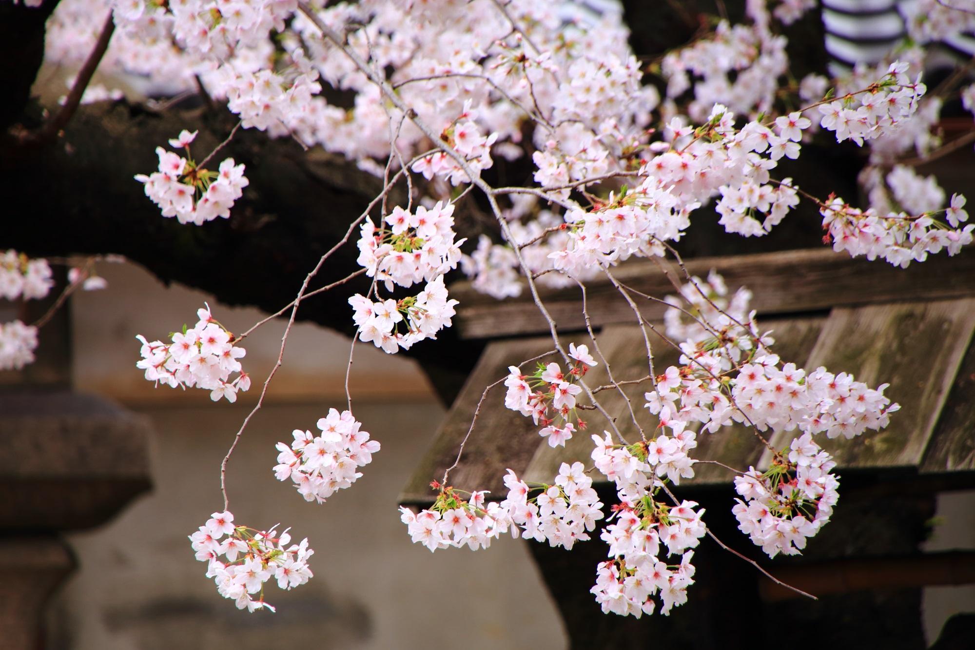 高画質 桜 墨染寺 写真