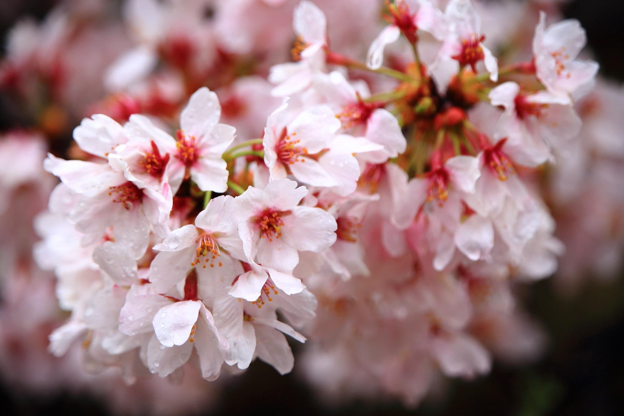 雨の中で見事に咲き誇るソメイヨシノ