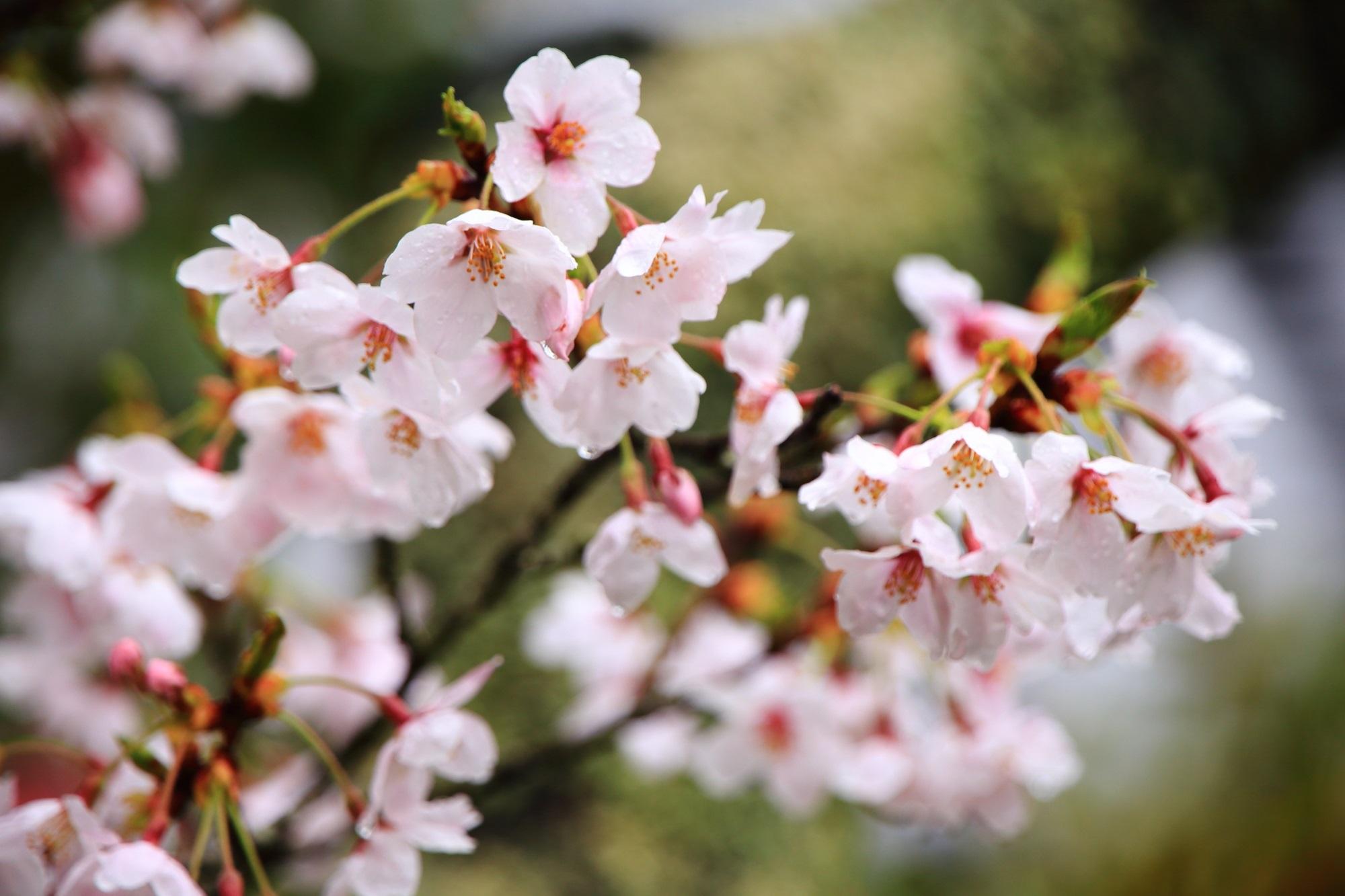 境内をつつむ淡いピンク色の桜