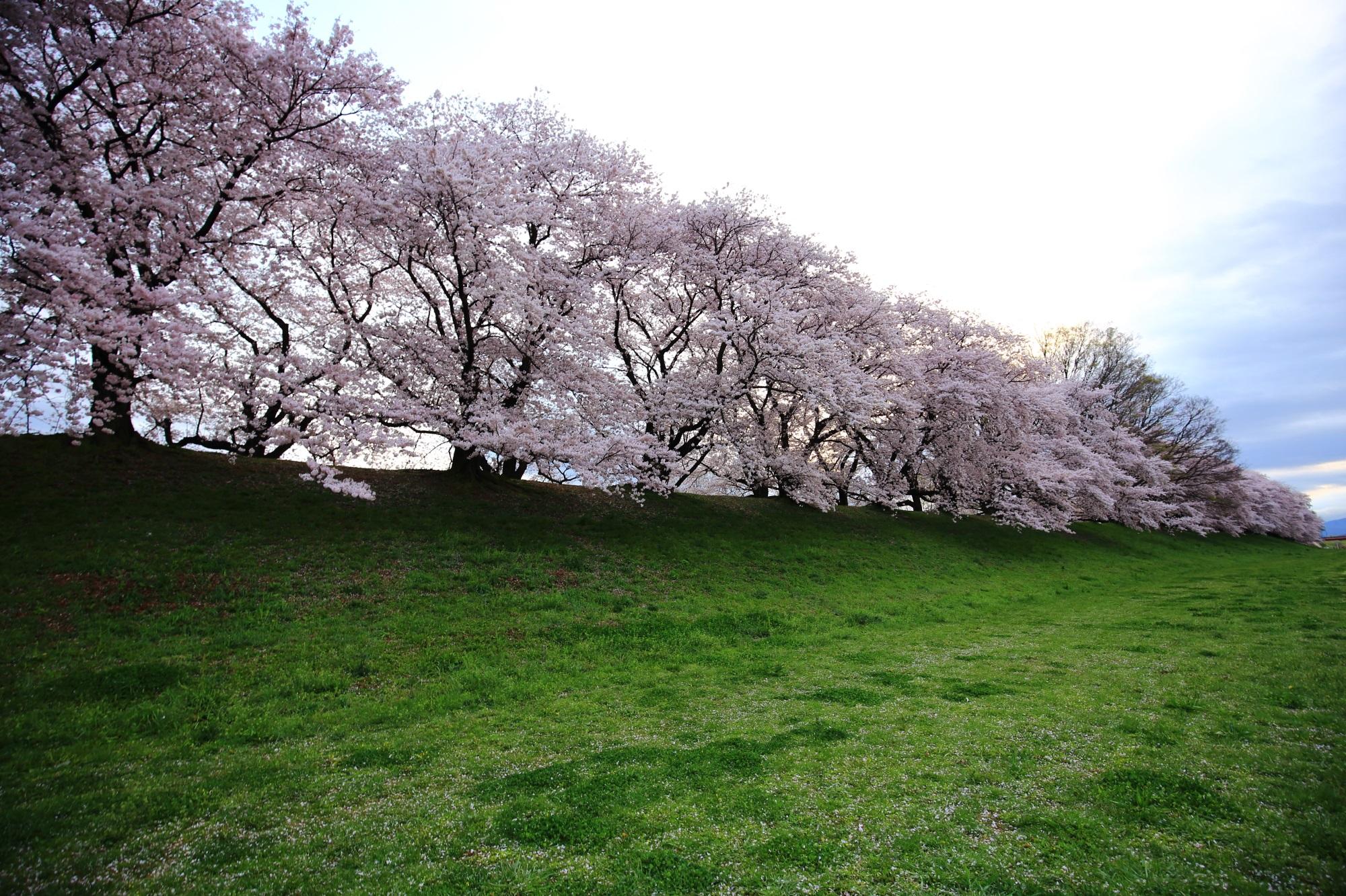 Kyoto Sewari-tei cherry blossoms