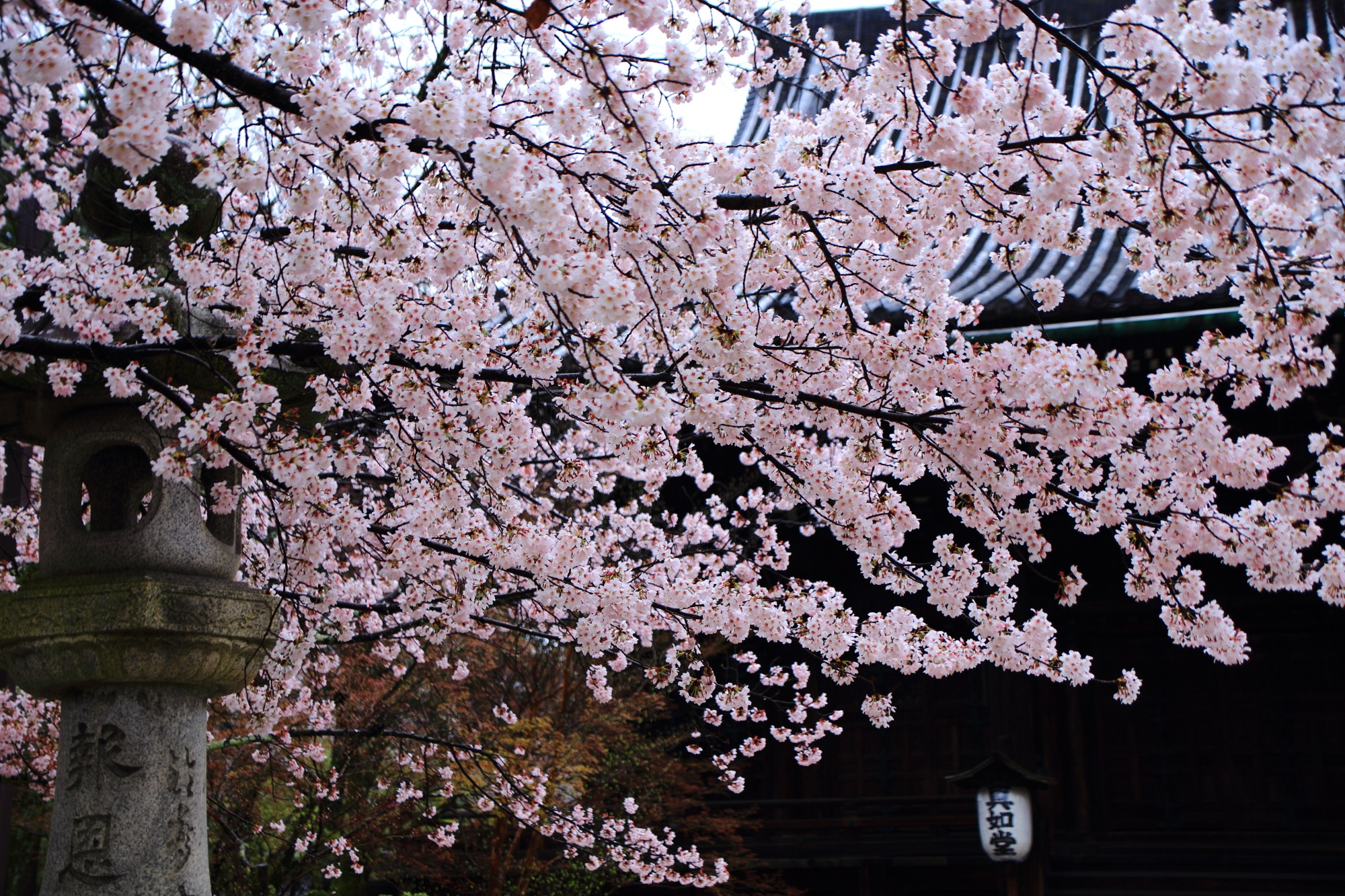 Kyoto Shinnyo-do Temple cherry blossoms