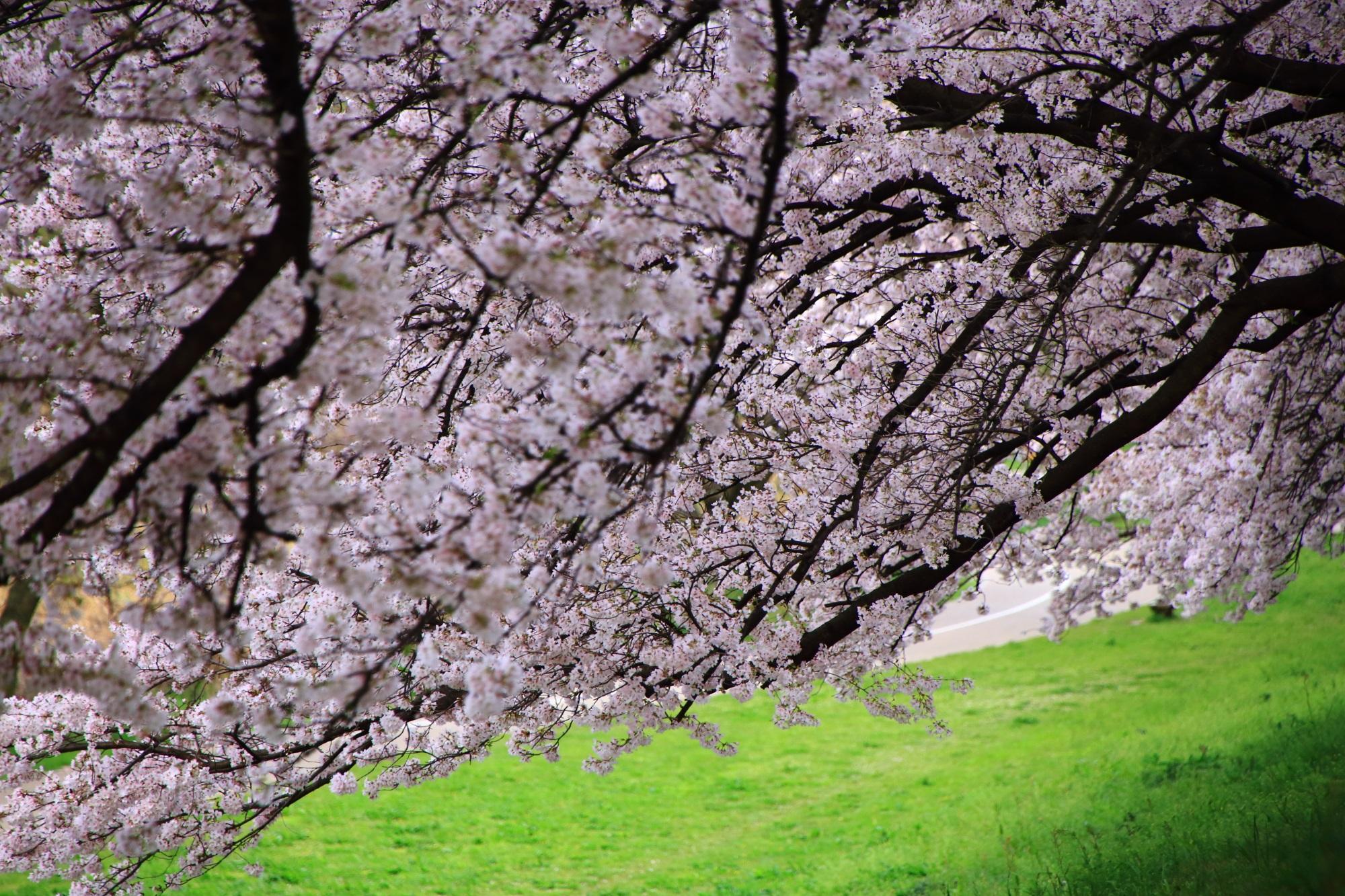 迫力のある桜から風情ある桜に変わる背割堤の桜