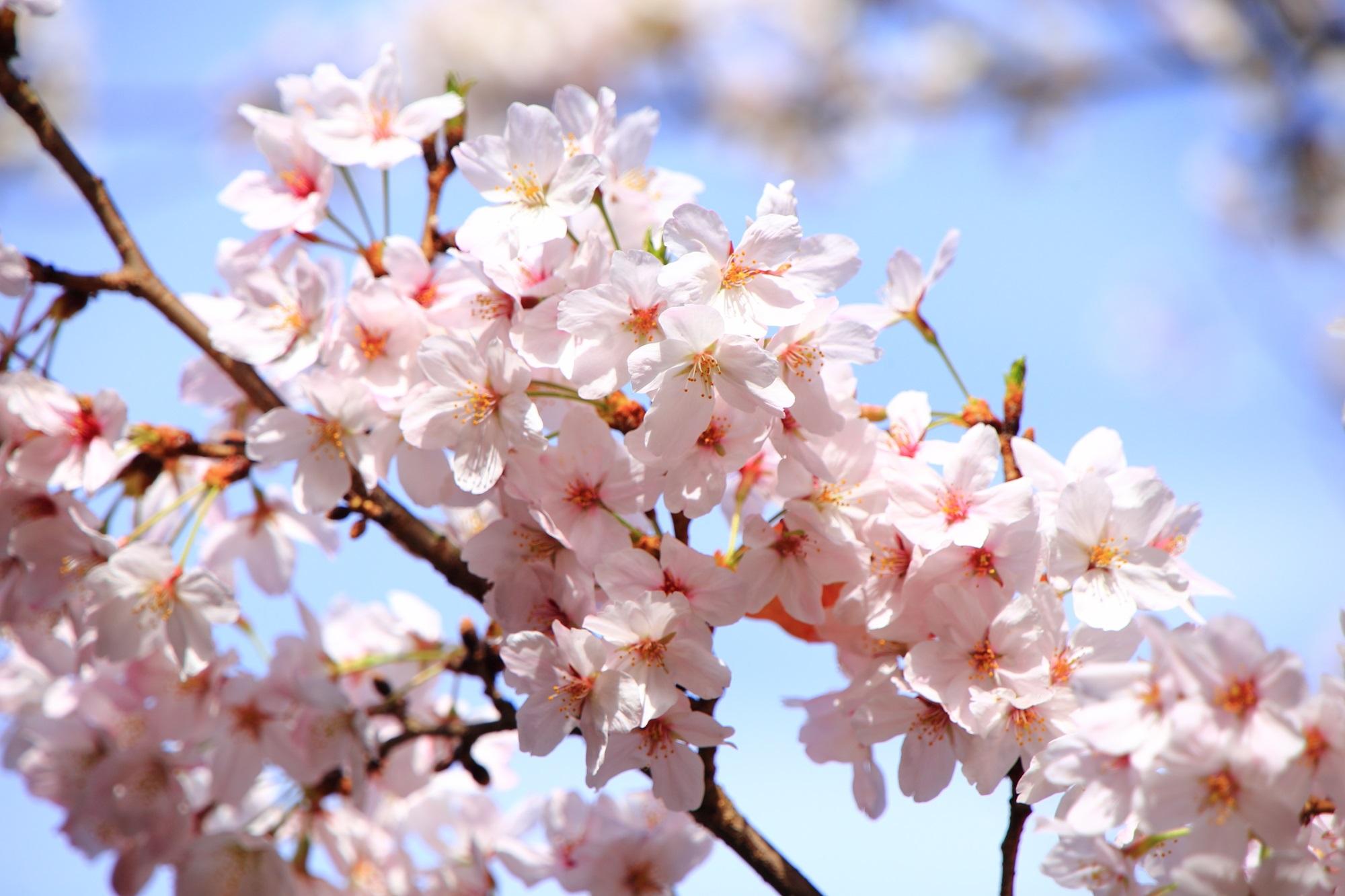 華やかな淡いピンクの桜
