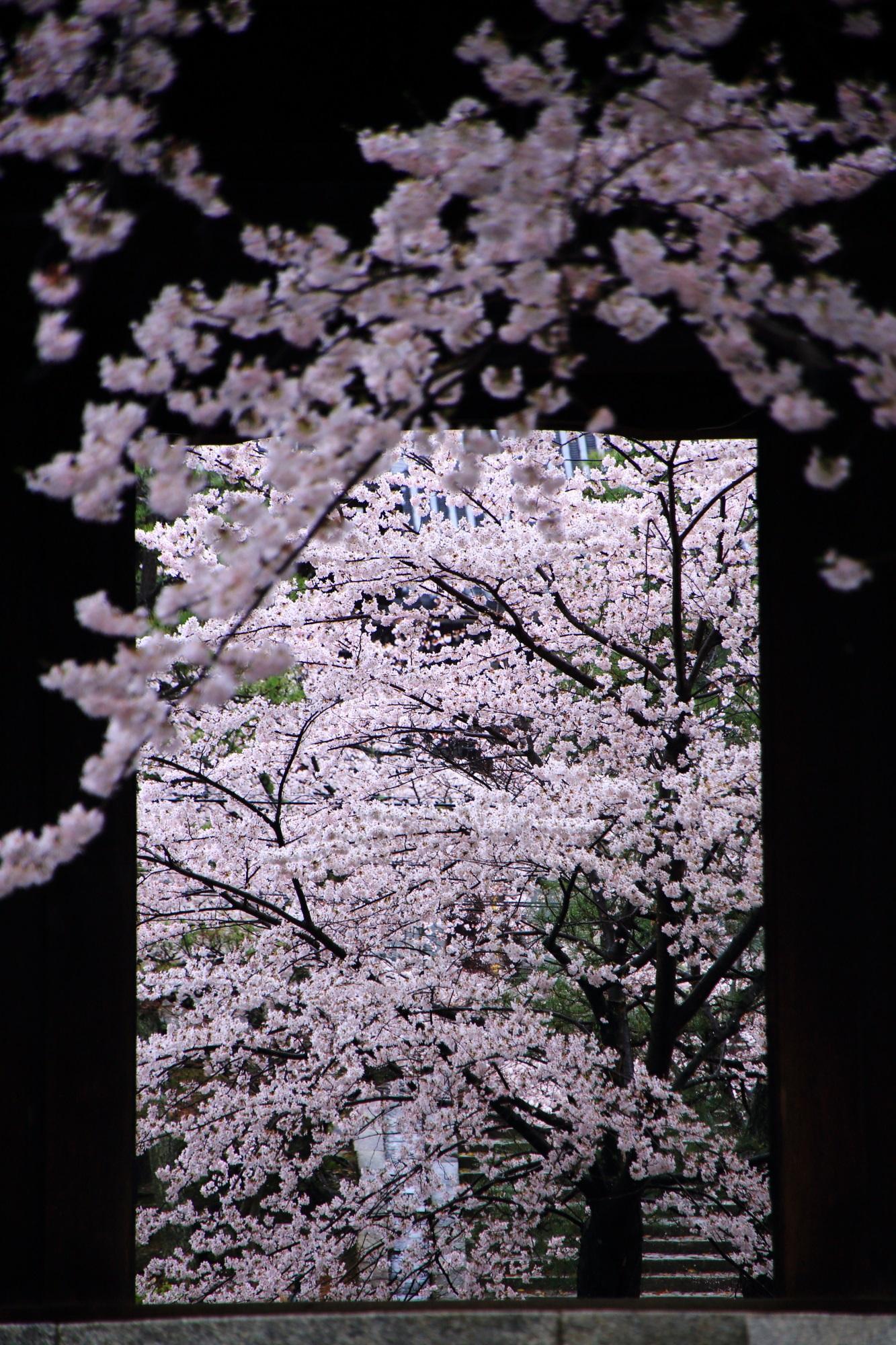 山門の柱の間から見える素晴らしい桜