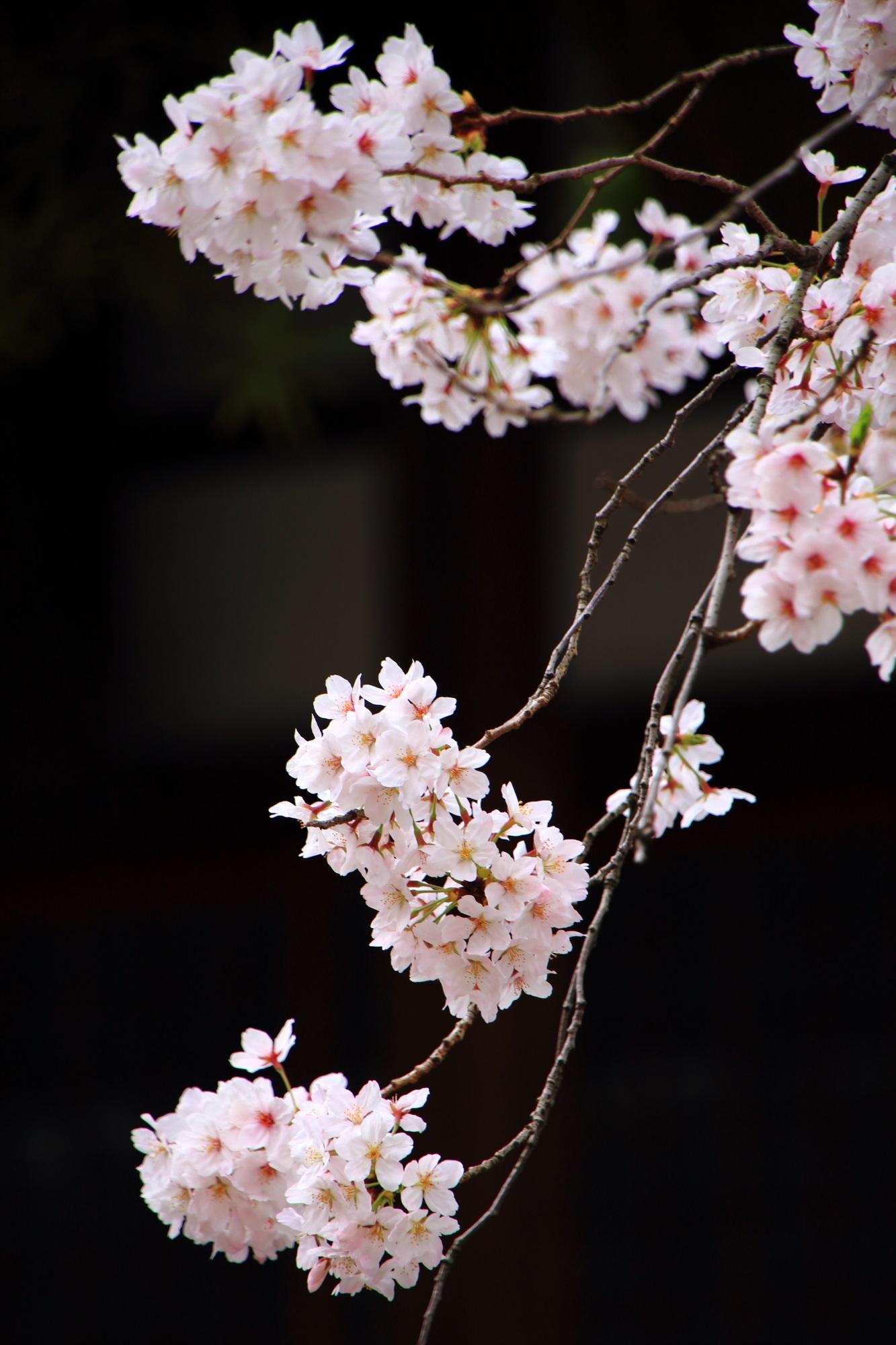 桜の名所の墨染寺の見事な墨染桜(すみぞめ桜)
