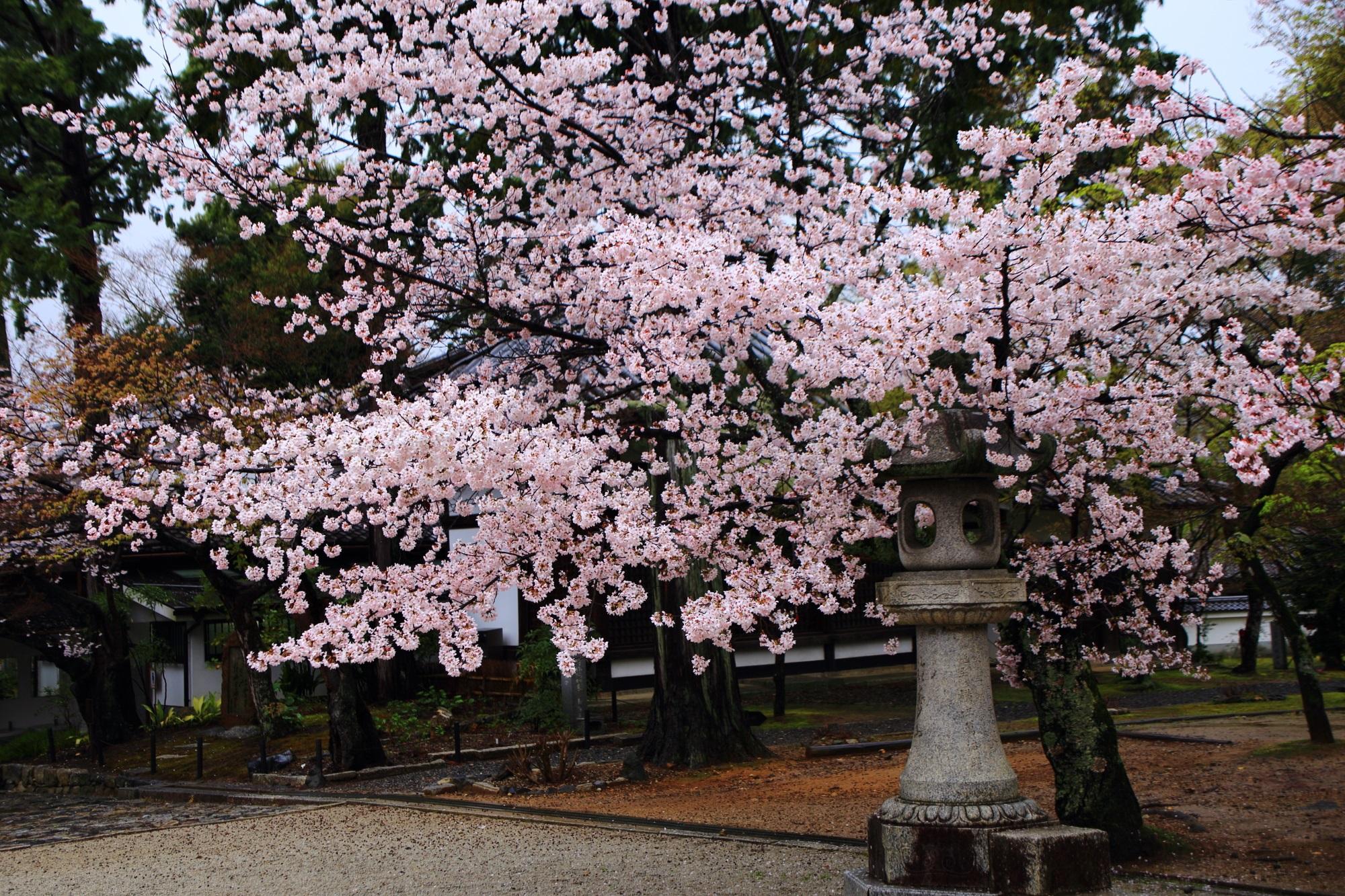 桜の名所の真如堂の満開の桜と燈籠