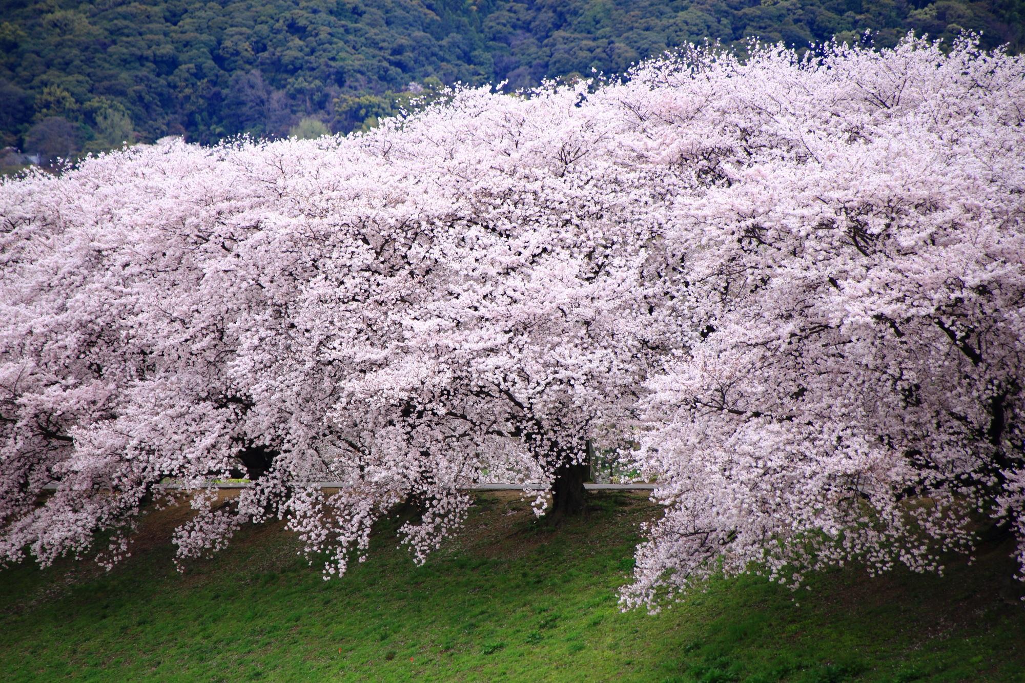 背割堤の弾け飛びそうな超満開の桜