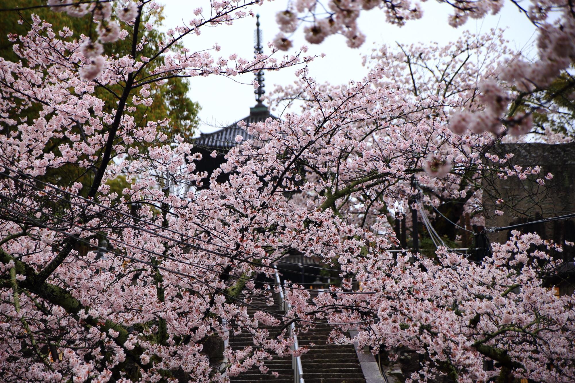 金戒光明寺の三重塔と桜