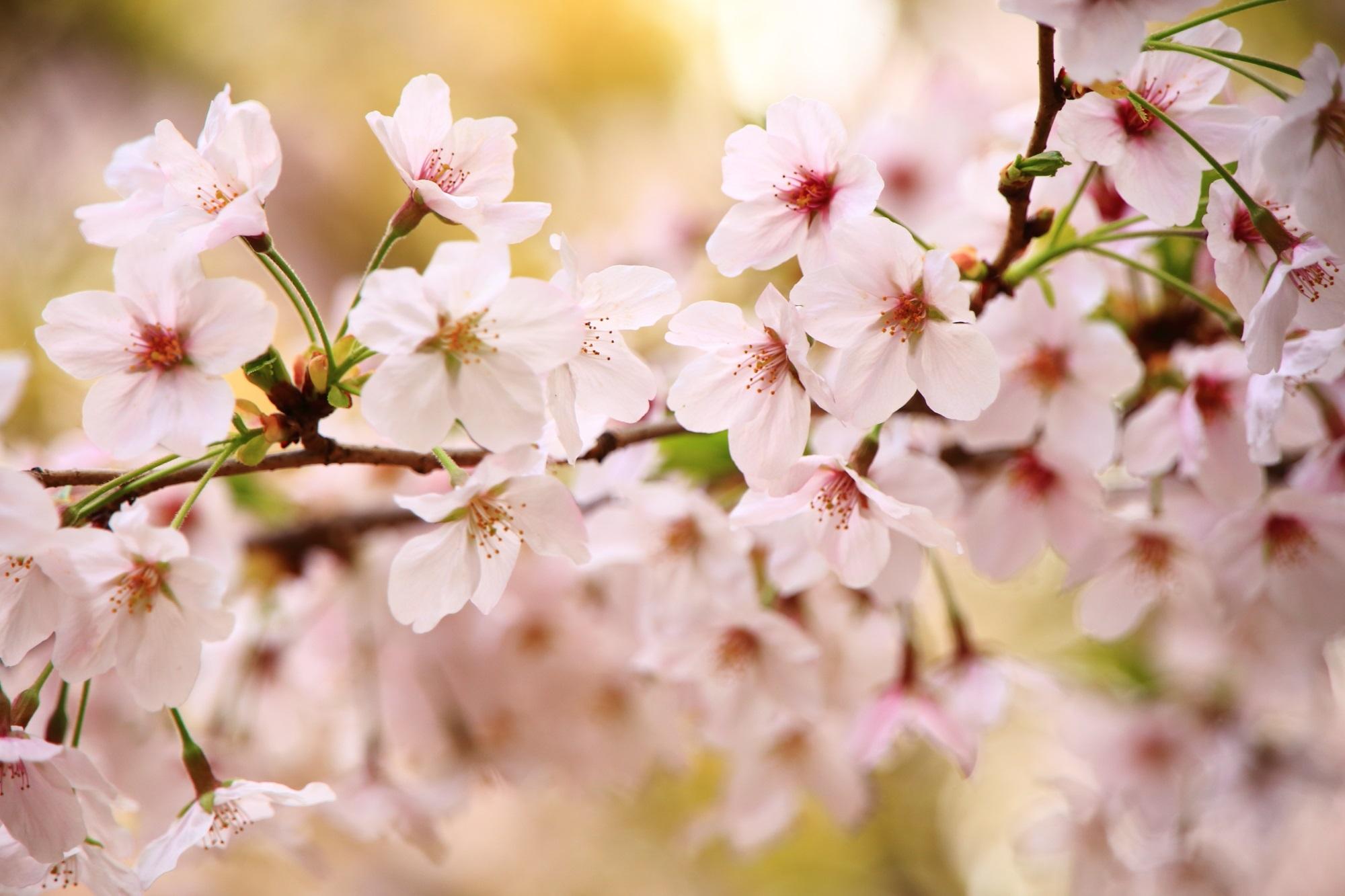淡く柔らかい色合いのピンクの桜