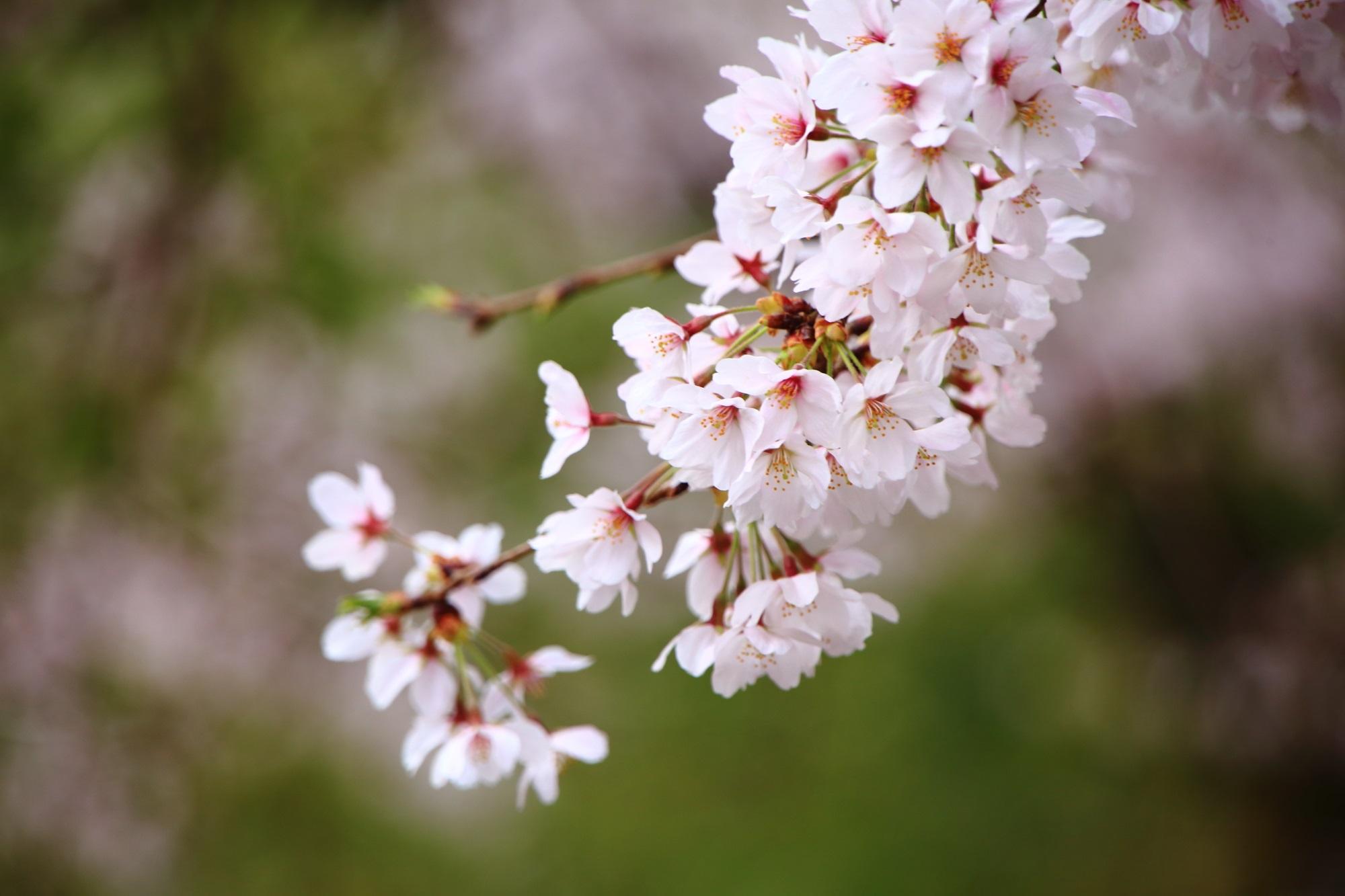 男山を華やぐ淡い色合いの桜