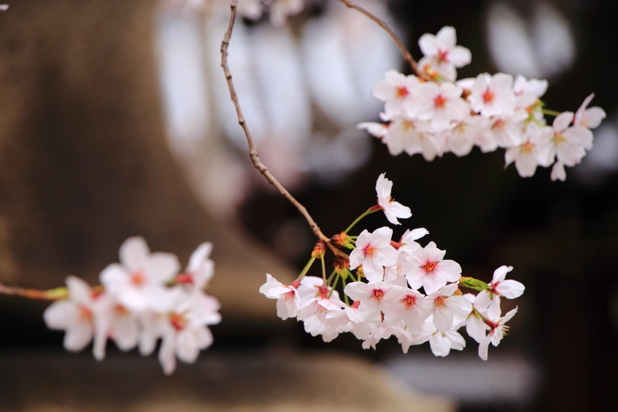 ぼくせんじ 桜 穴場 春 満開