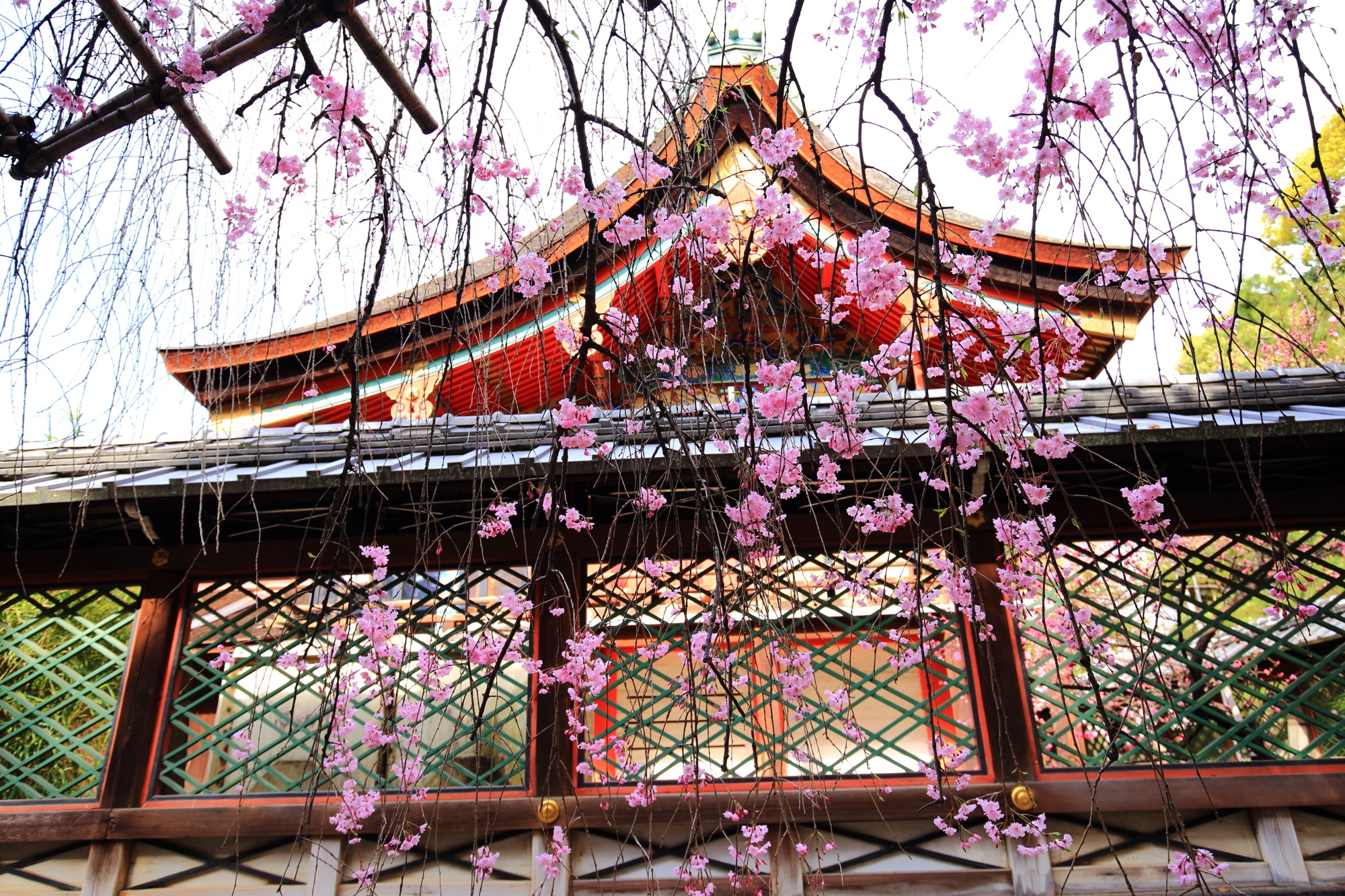 御香宮神社の本殿としだれ桜