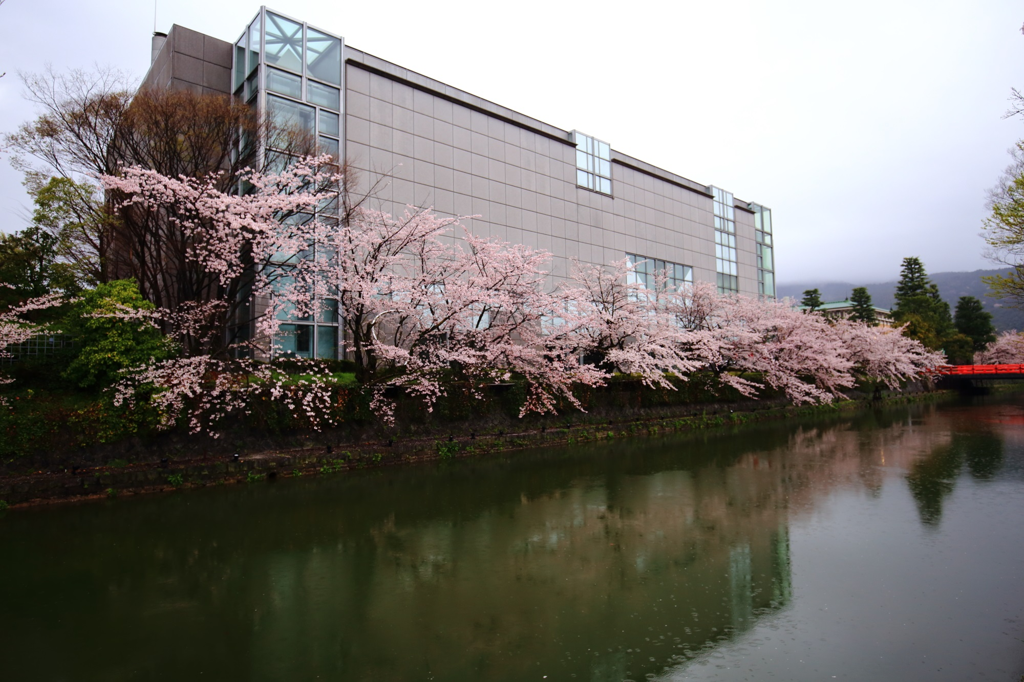 桜の名所の琵琶湖疏水の京都国立近代美術館前の満開の桜