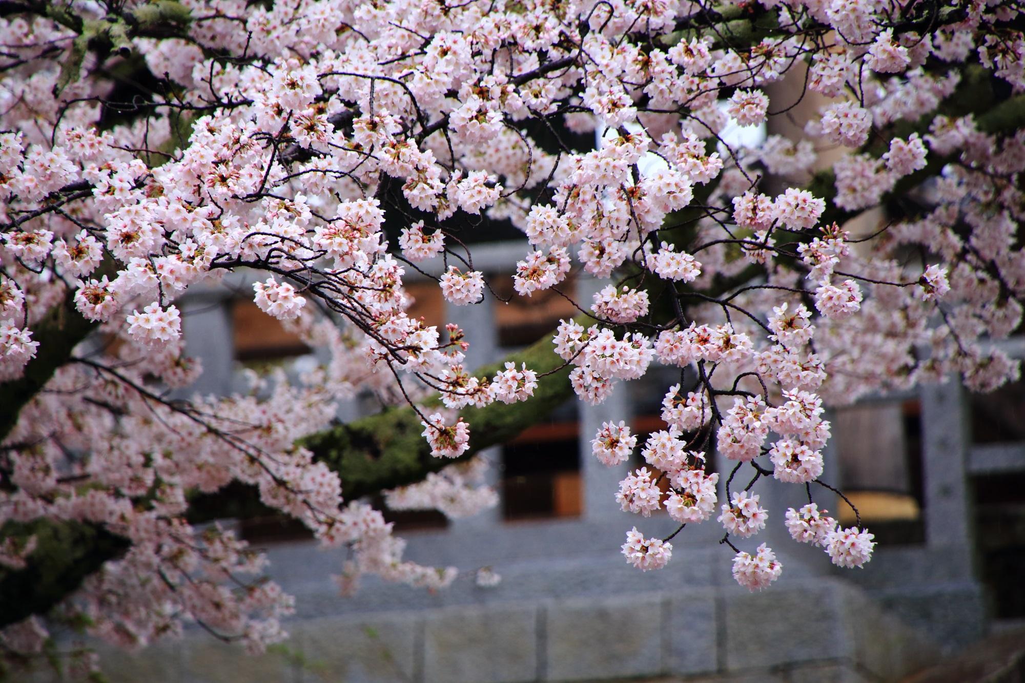 花をいっぱいにつけて咲き誇る桜