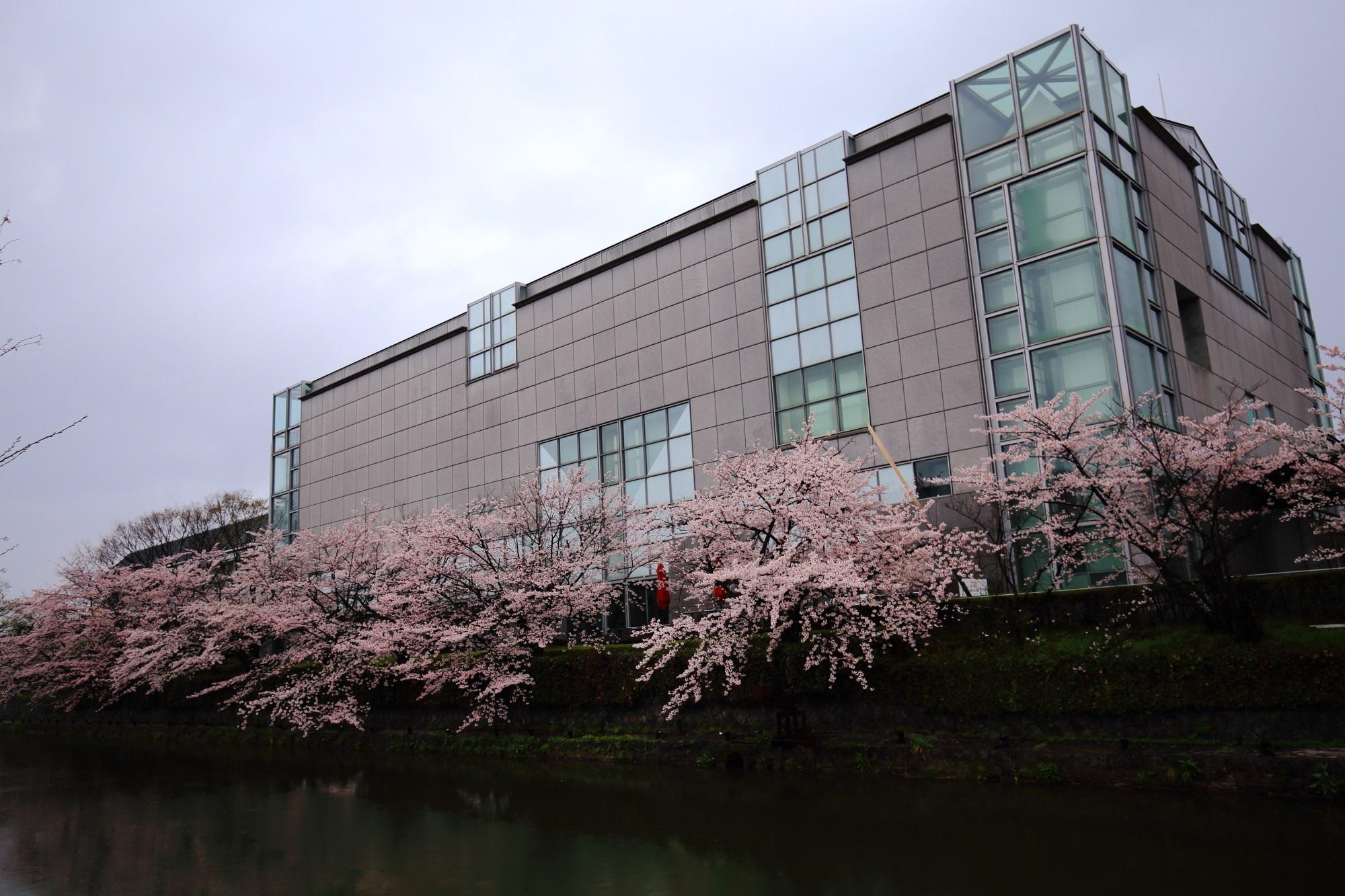 岡崎疏水 桜国立近代美術館 満開