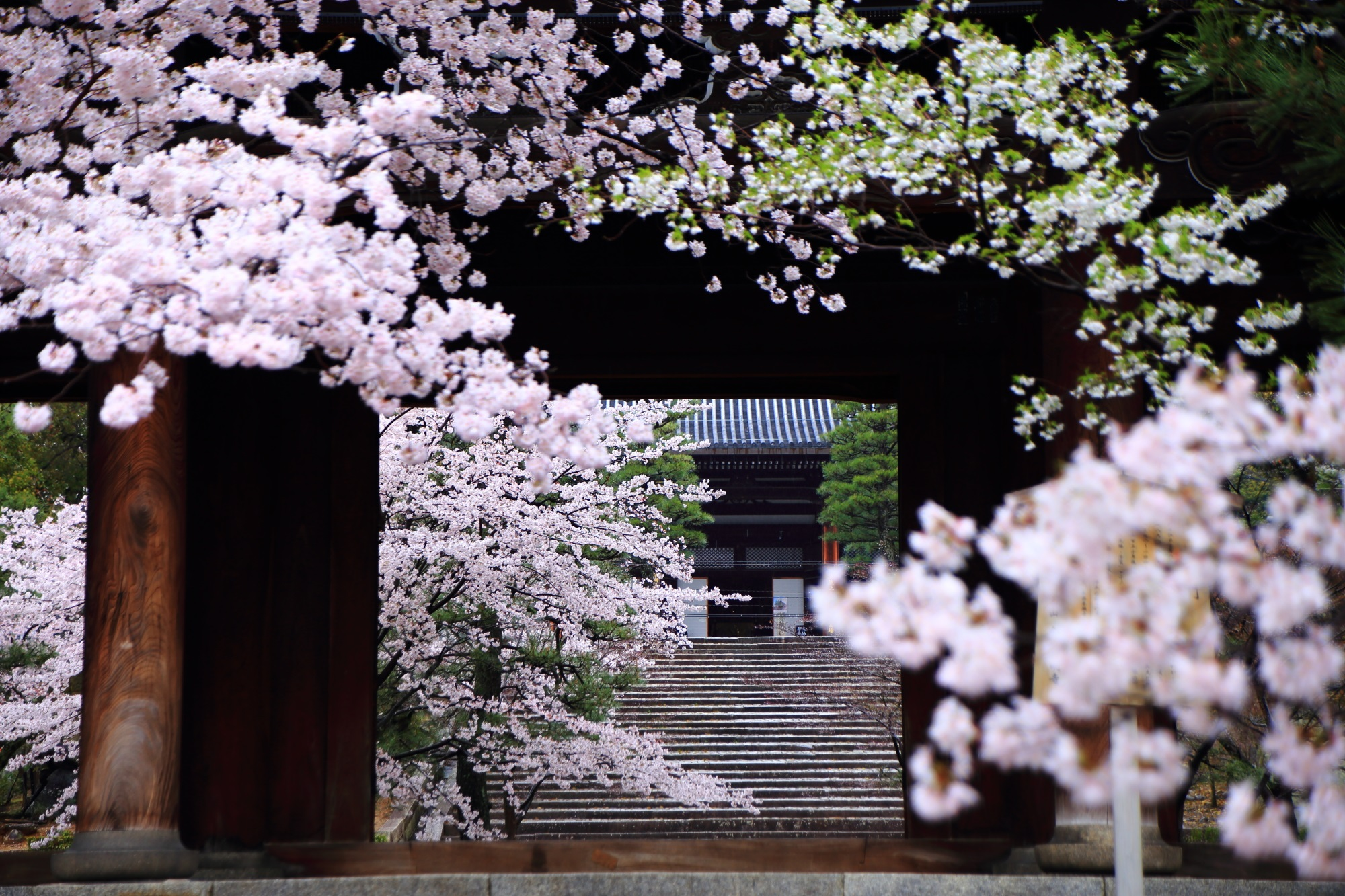 Kyoto Konkaikomyoji-Temple cherry blossoms