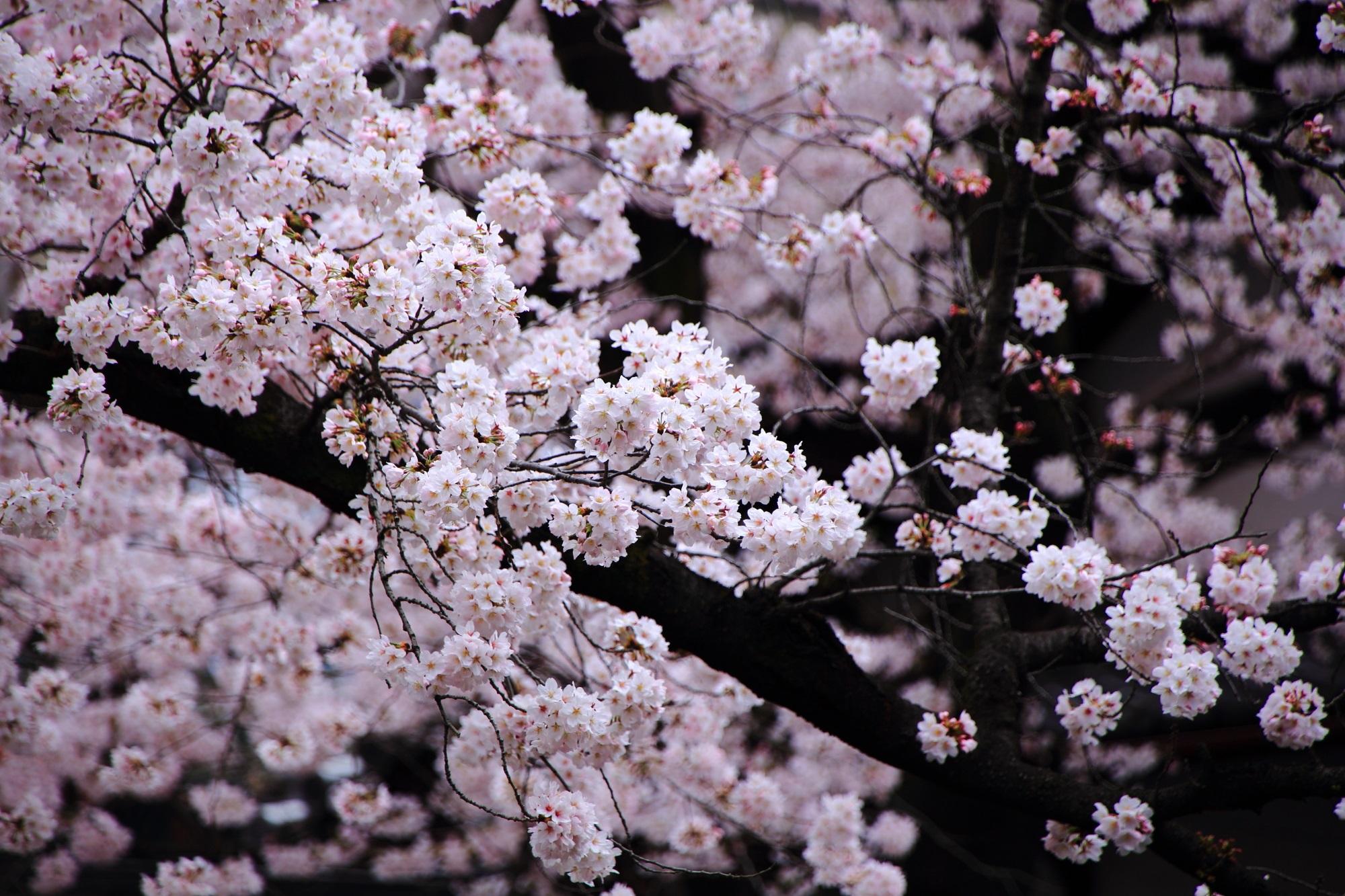 墨染桜で知られる京都の桜の隠れた名所の墨染寺