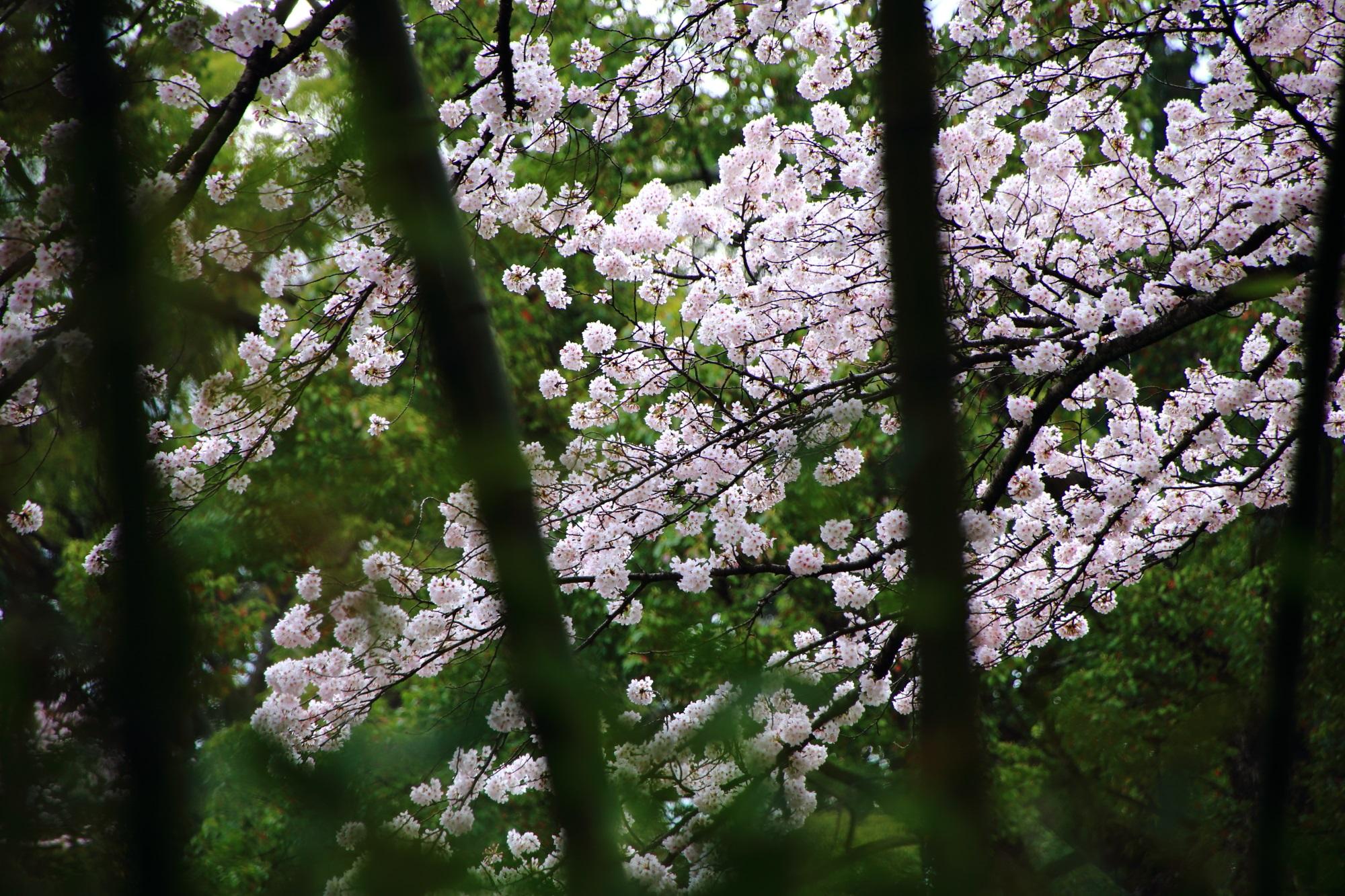 絵になる桜と竹の春の風景