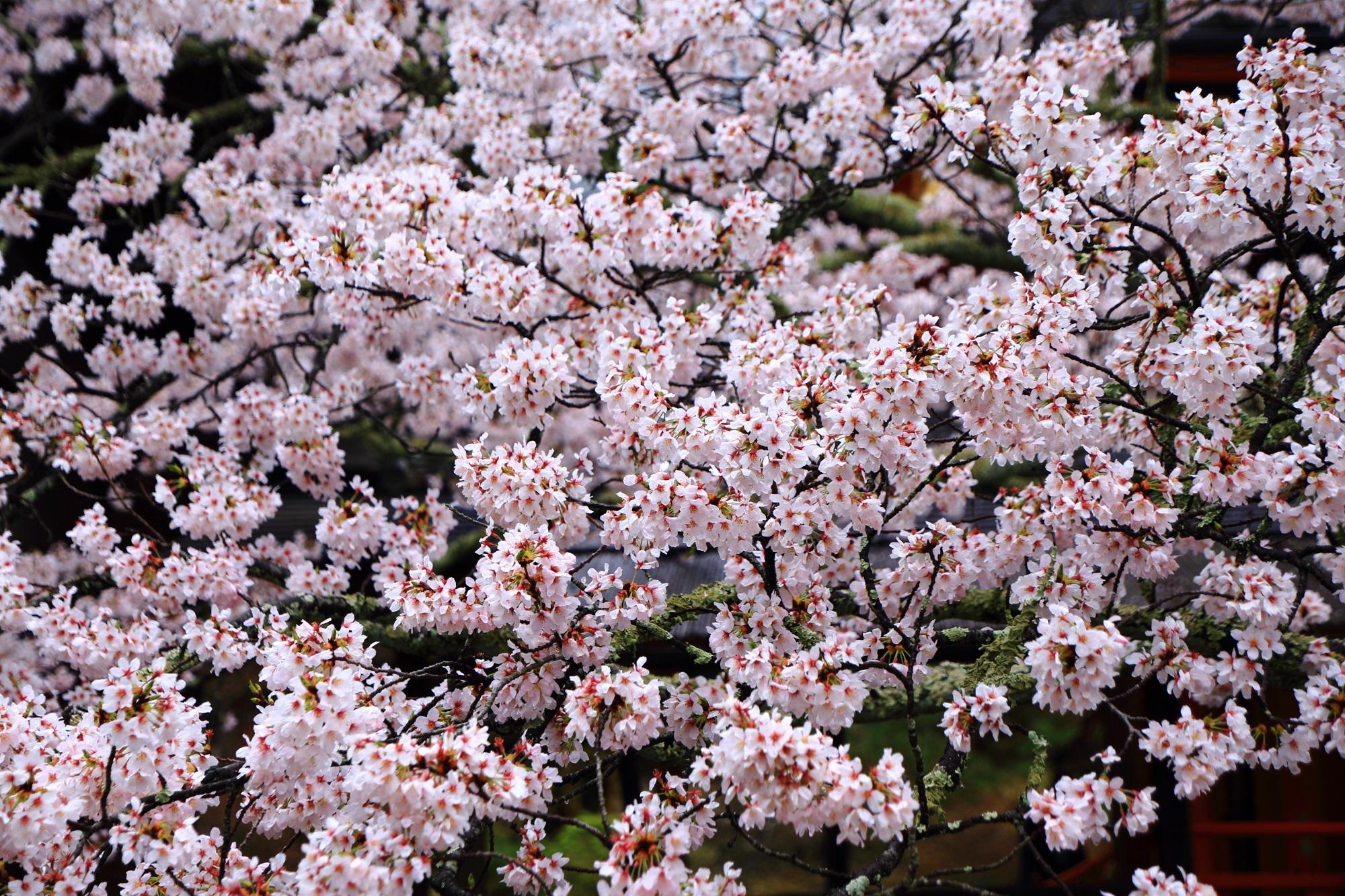 咲きすぎなくらいの超満開の桜