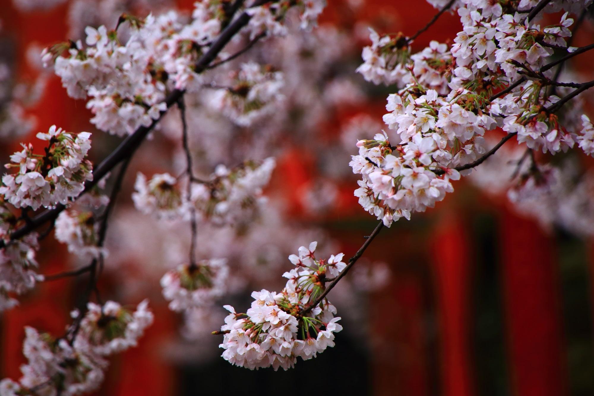 溢れ出す見事な桜