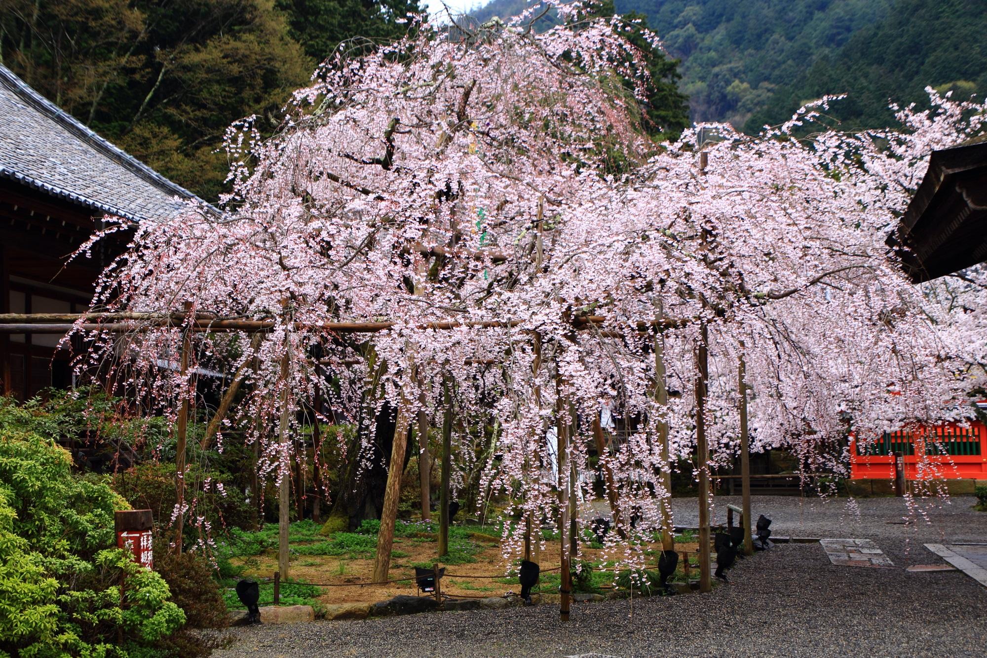 毘沙門堂の素晴らしい桜と春の情景