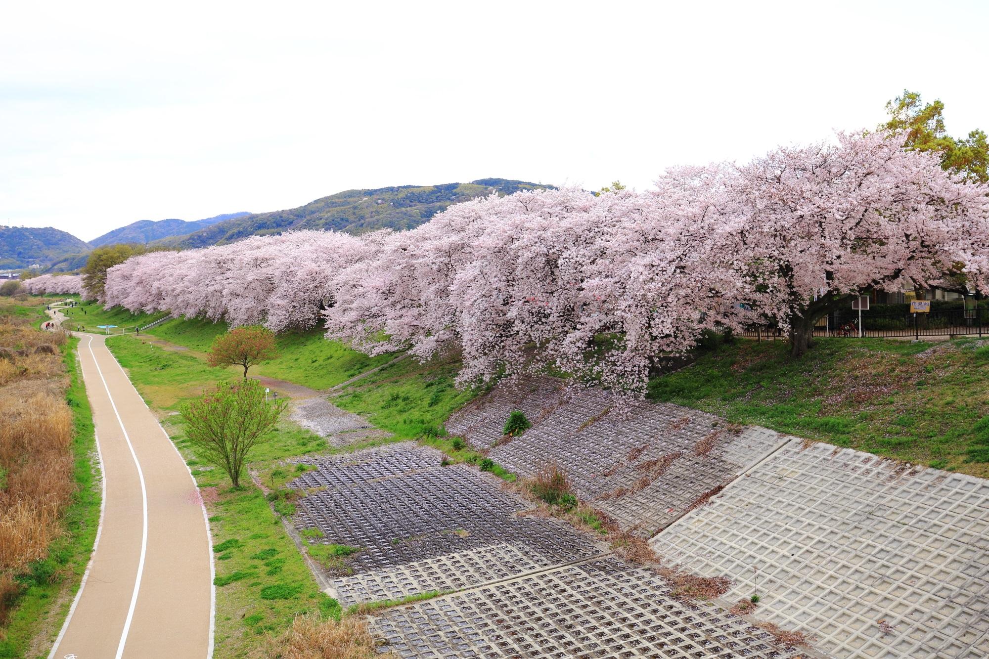 帰り際に橋の上から眺めた桜並木