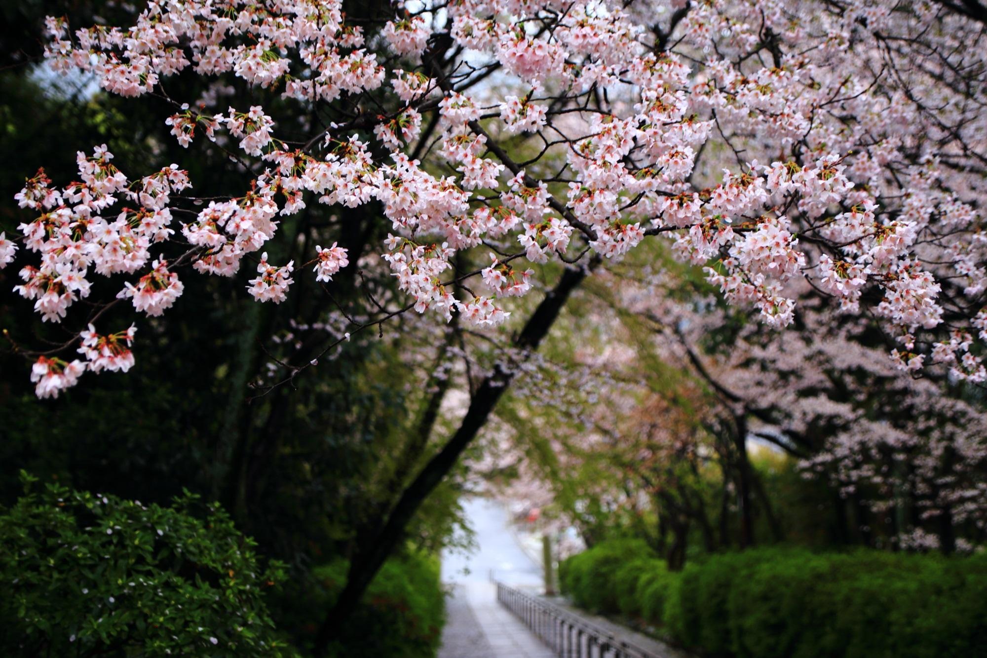 Kyoto Munetada-Shrine cherry blossoms