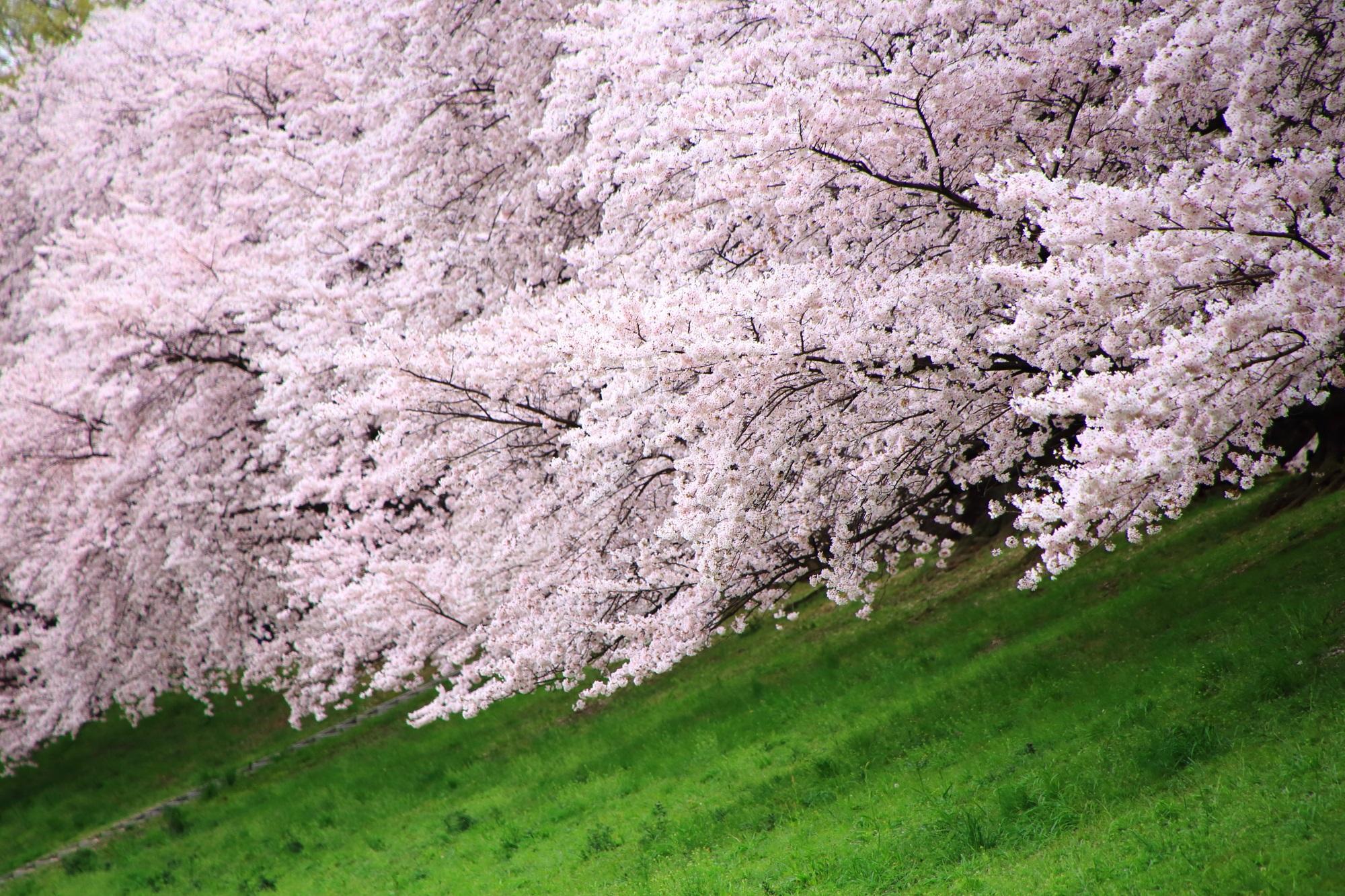 緑の芝生の上で遠慮なく咲き乱れる桜