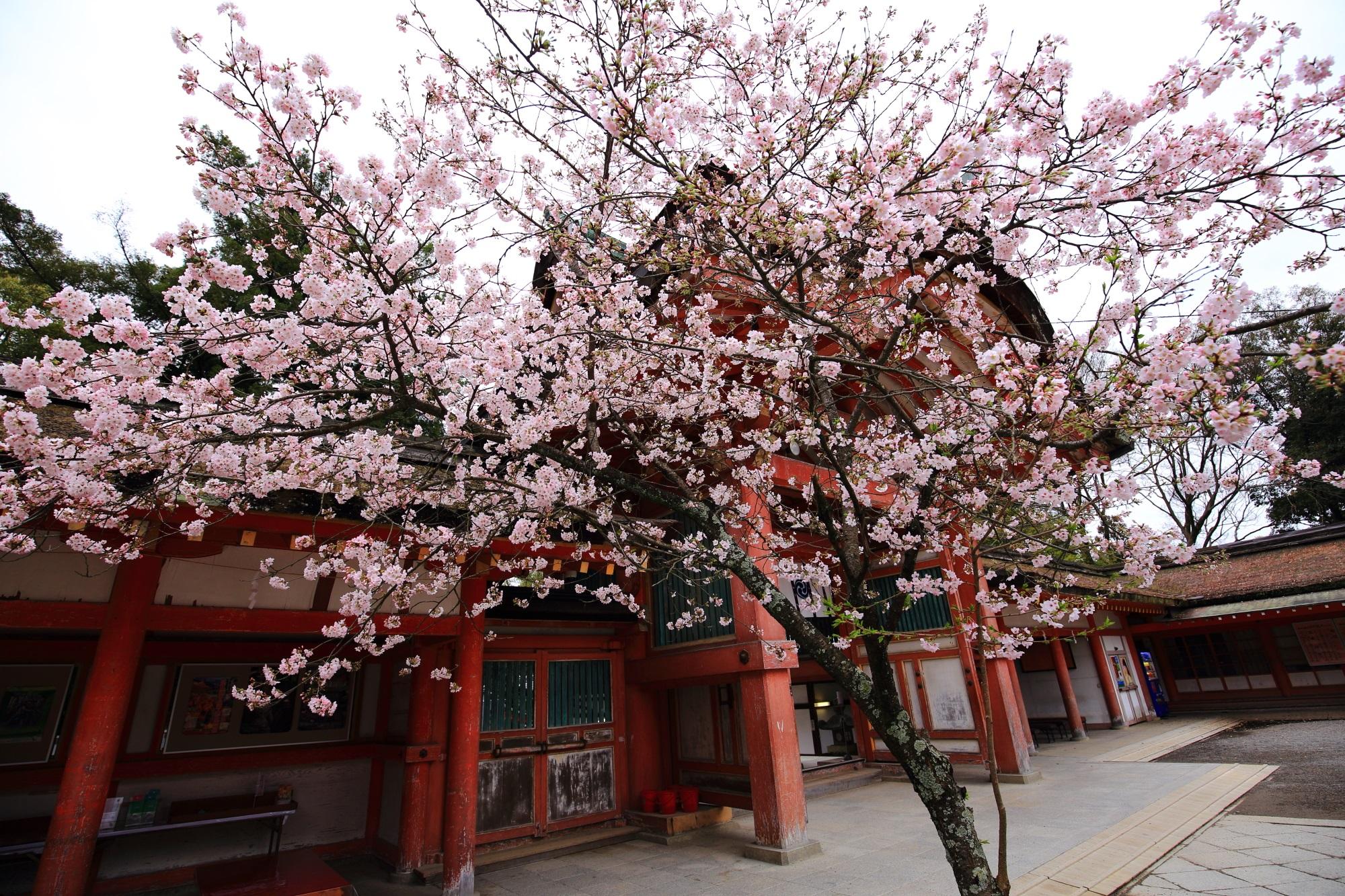 曇天が残念も咲き誇る満開の桜