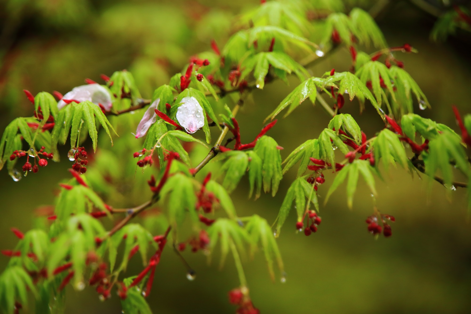 真如堂の雨の散り桜と新緑