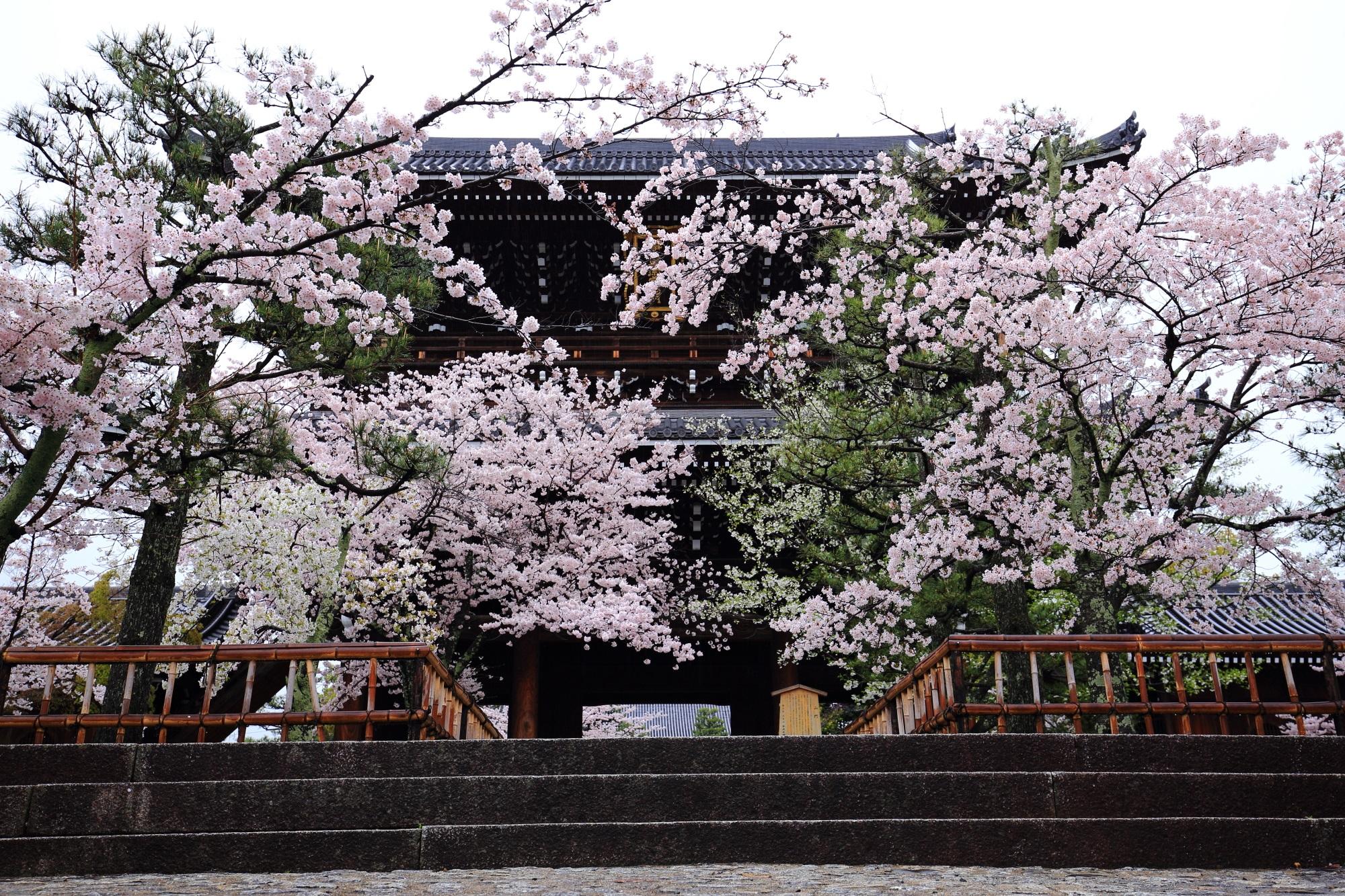 咲きすぎの桜に覆われる雄大な山門
