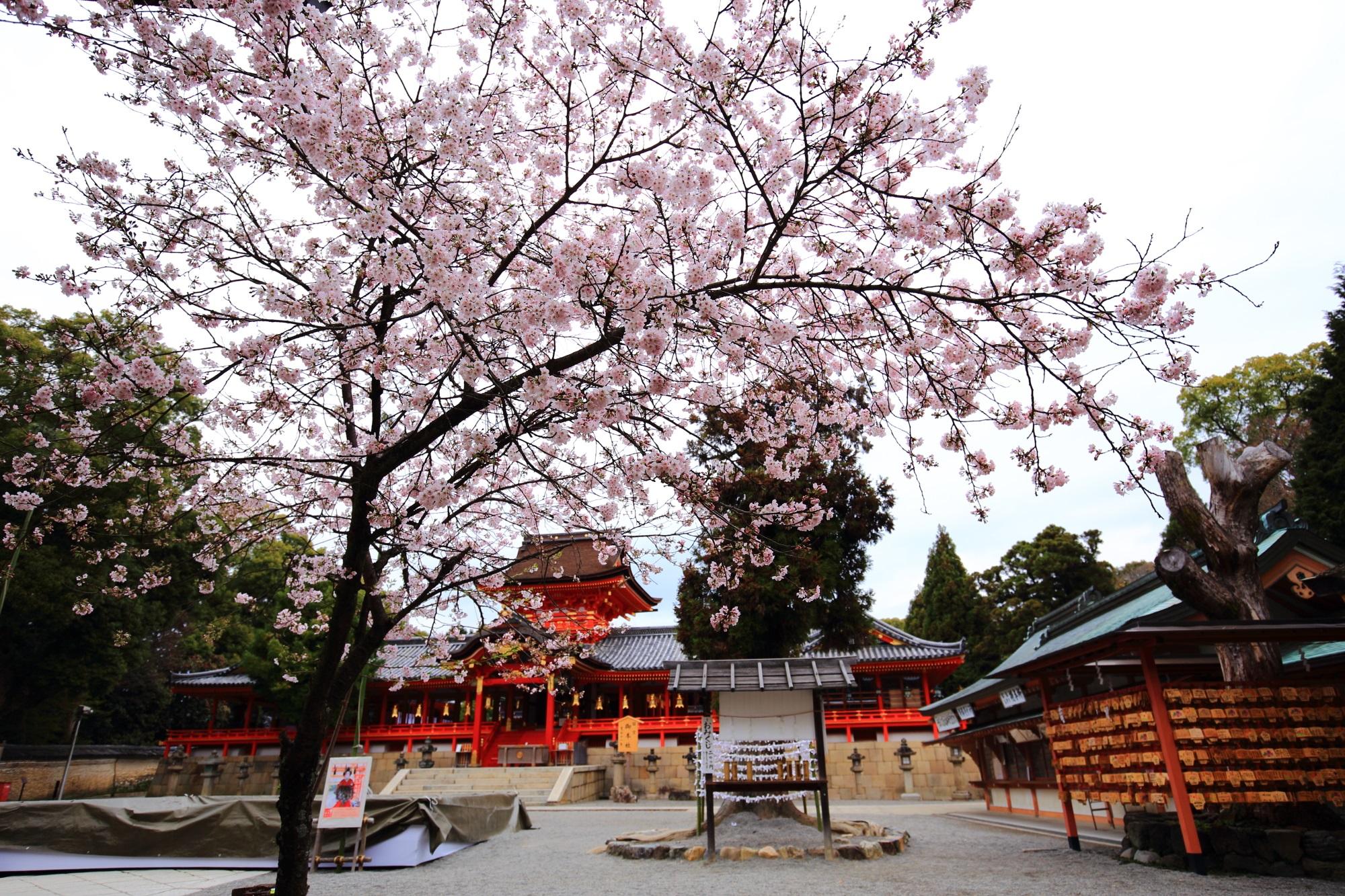cherry blossoms Iwashimizu-Hachiman-gu Shrine Kyoto