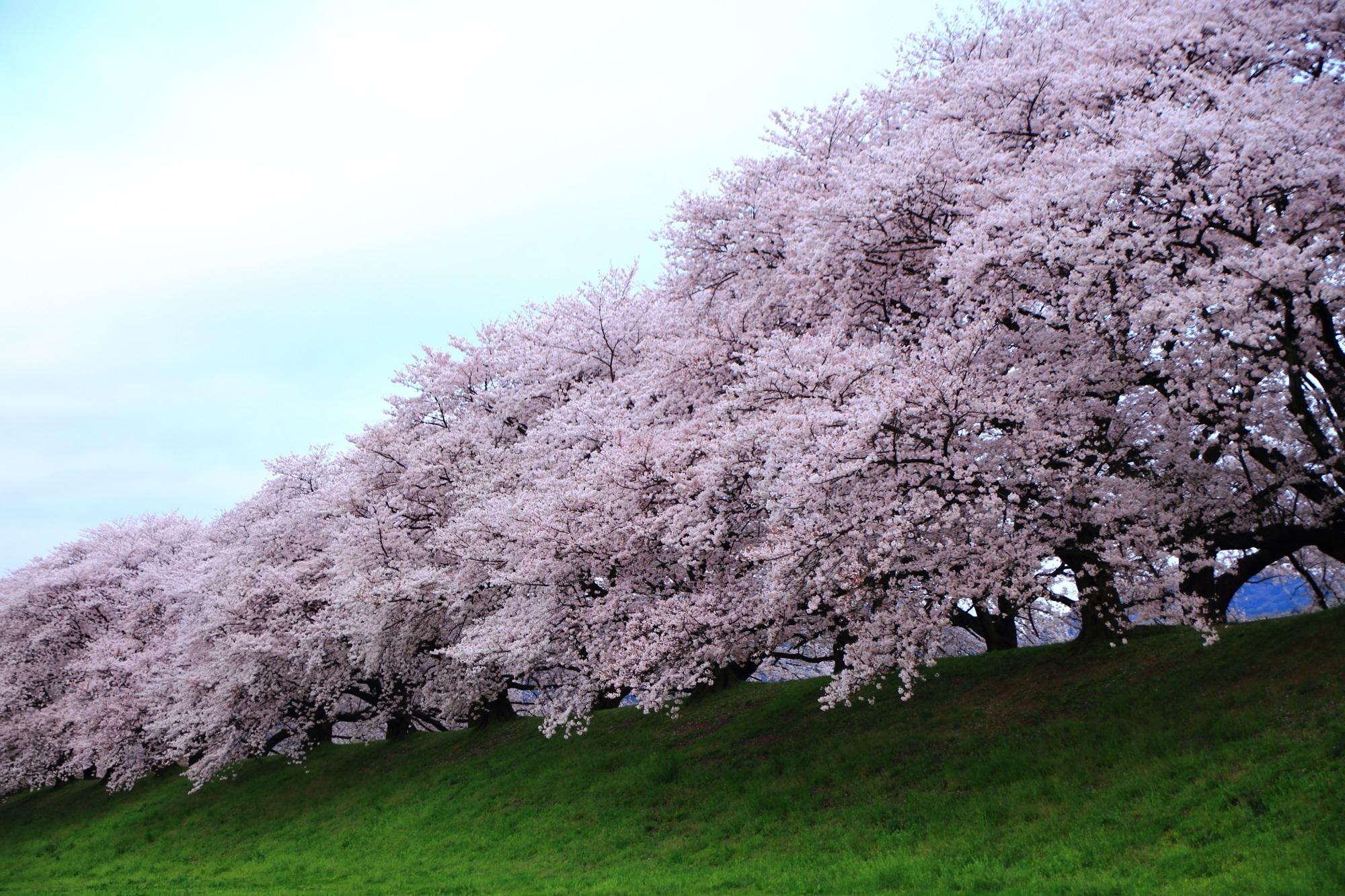 少し明るくなった桜が咲きすぎの背割堤