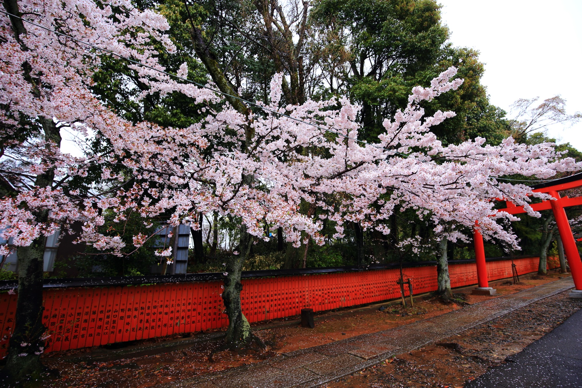 鳥居とともに桜を引き立てる参道沿いに並ぶ赤い玉垣