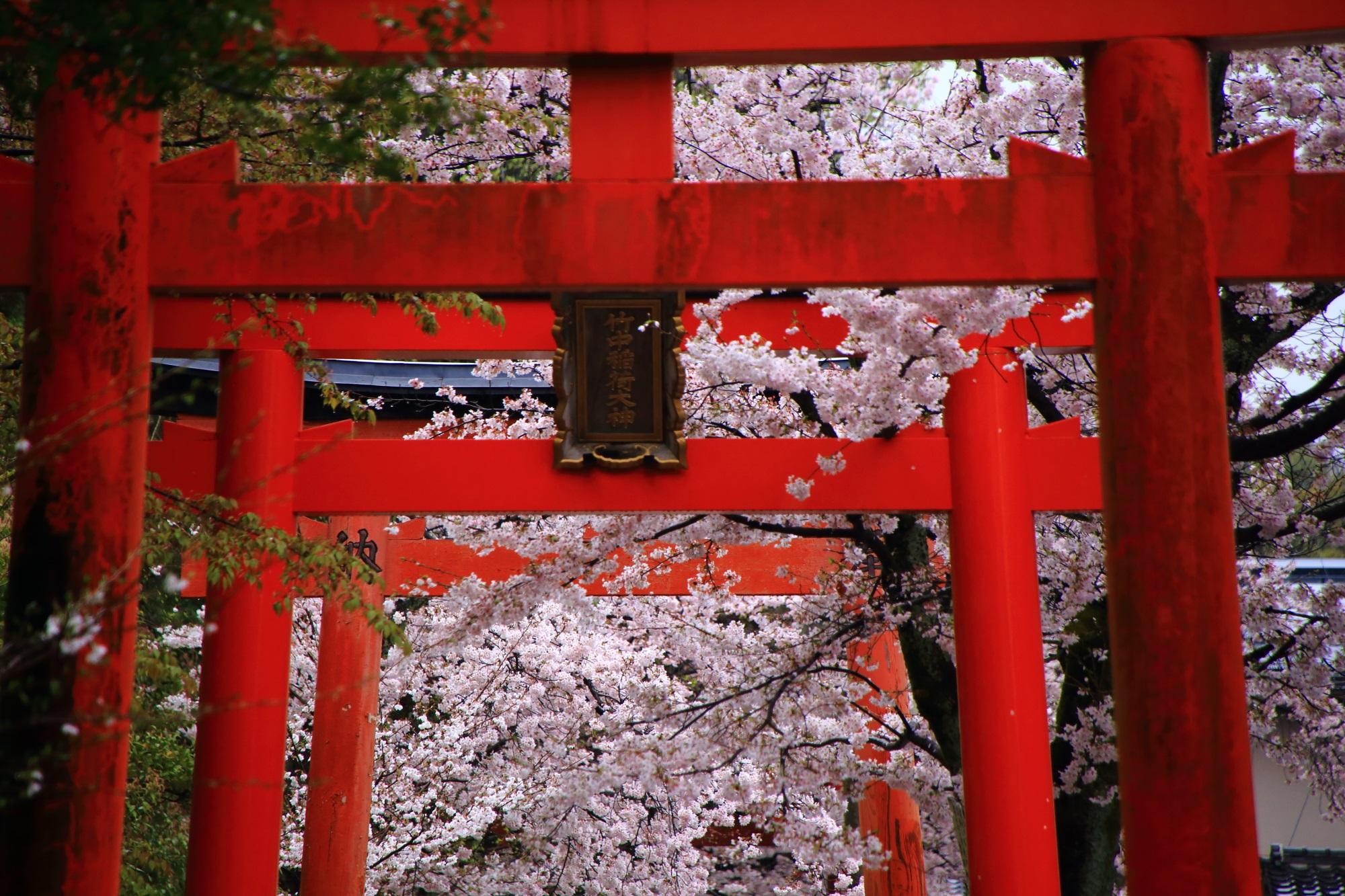赤い鳥居に映えるピンクの桜