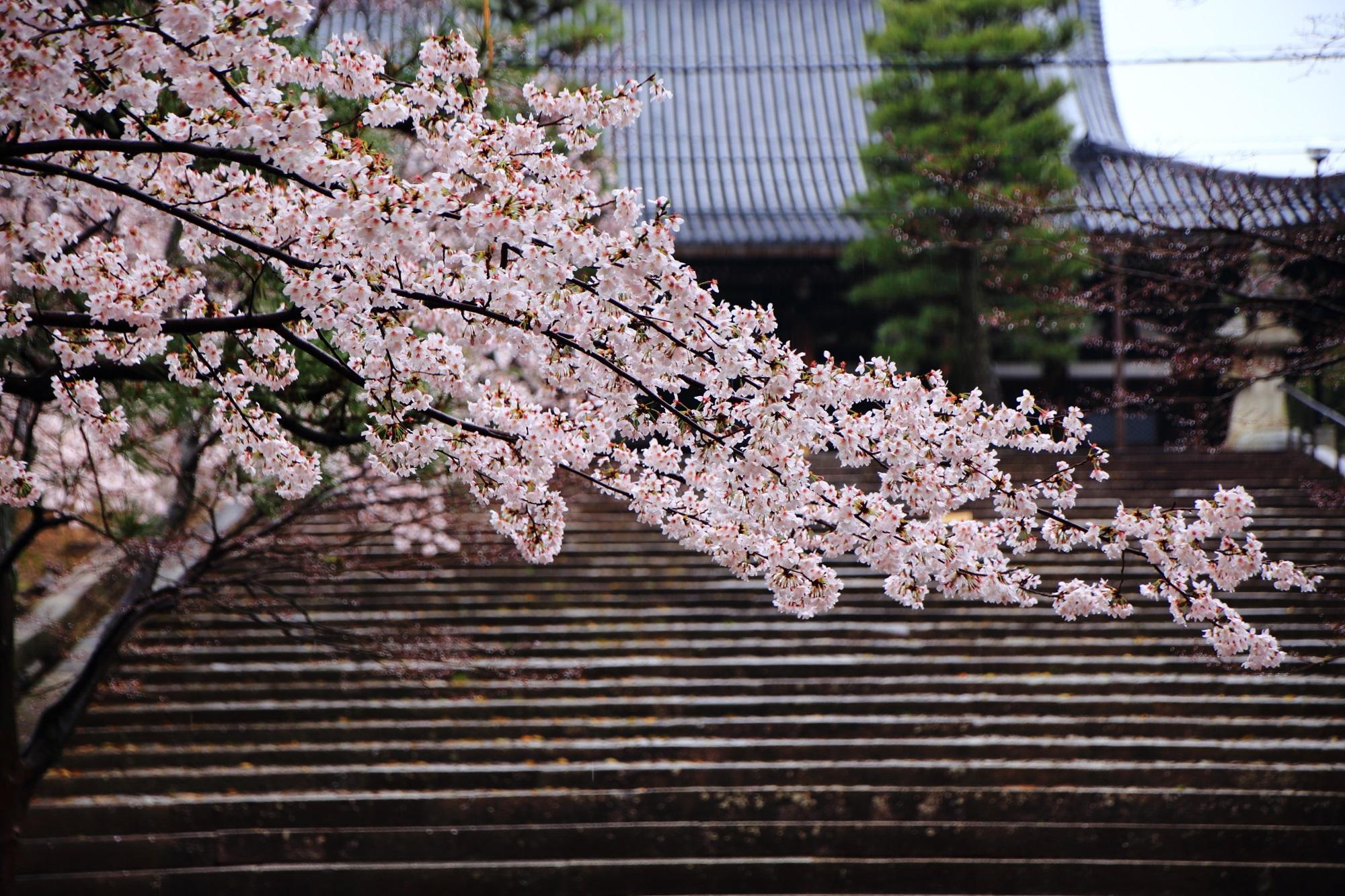 cherry blossoms Konkai-komyo-ji Temple Kyoto
