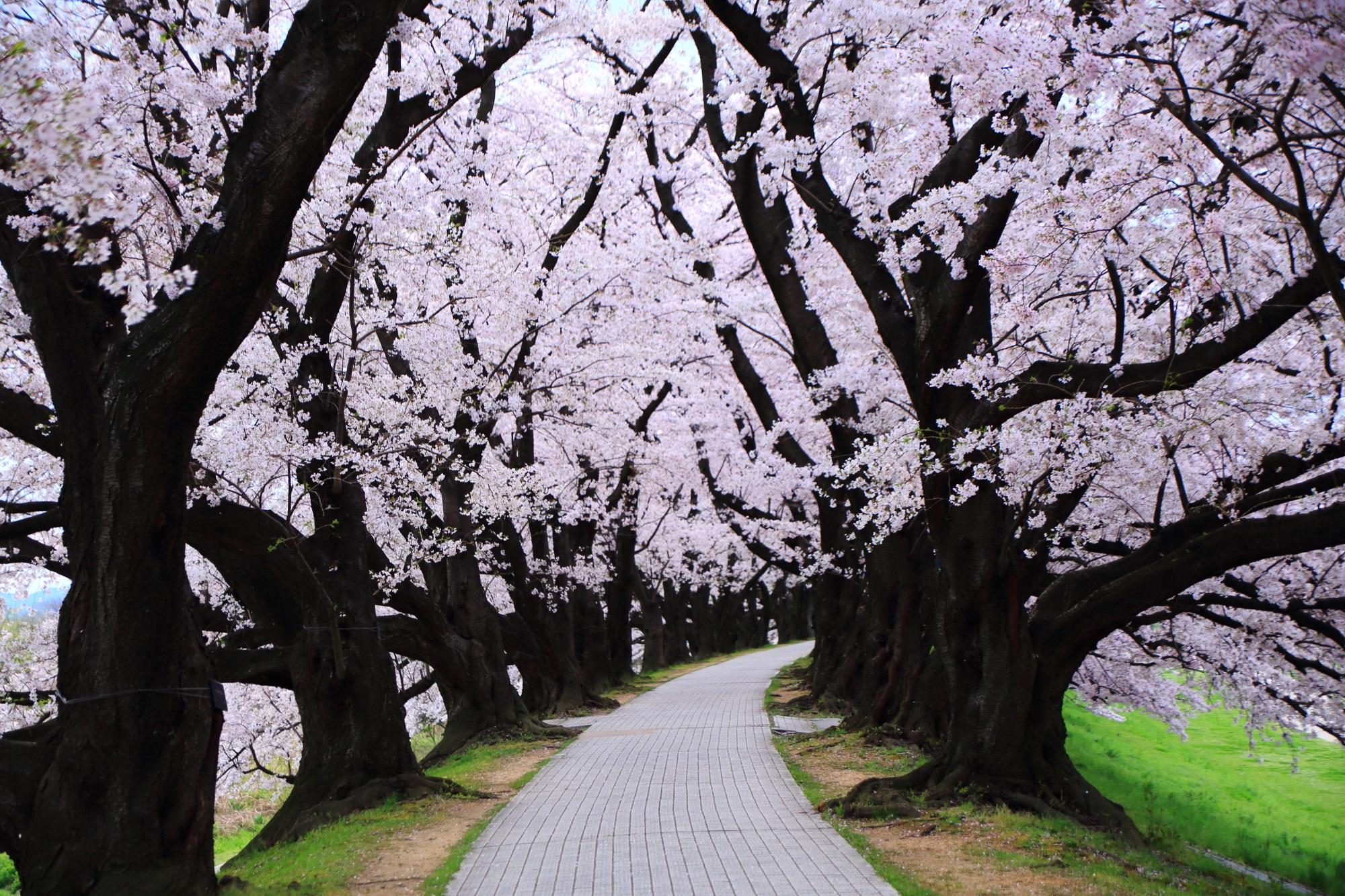 地元の人が散歩やジョギングをする背割堤の桜のトンネル