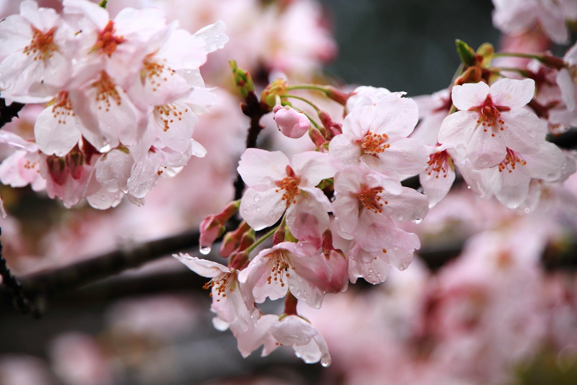 華やかな桜を濡らす春の雨