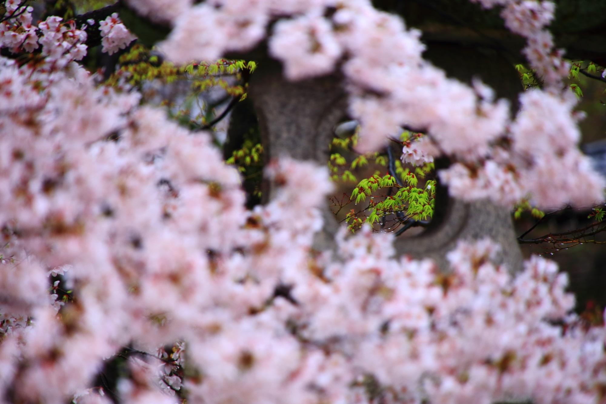 真如堂の新緑と桜