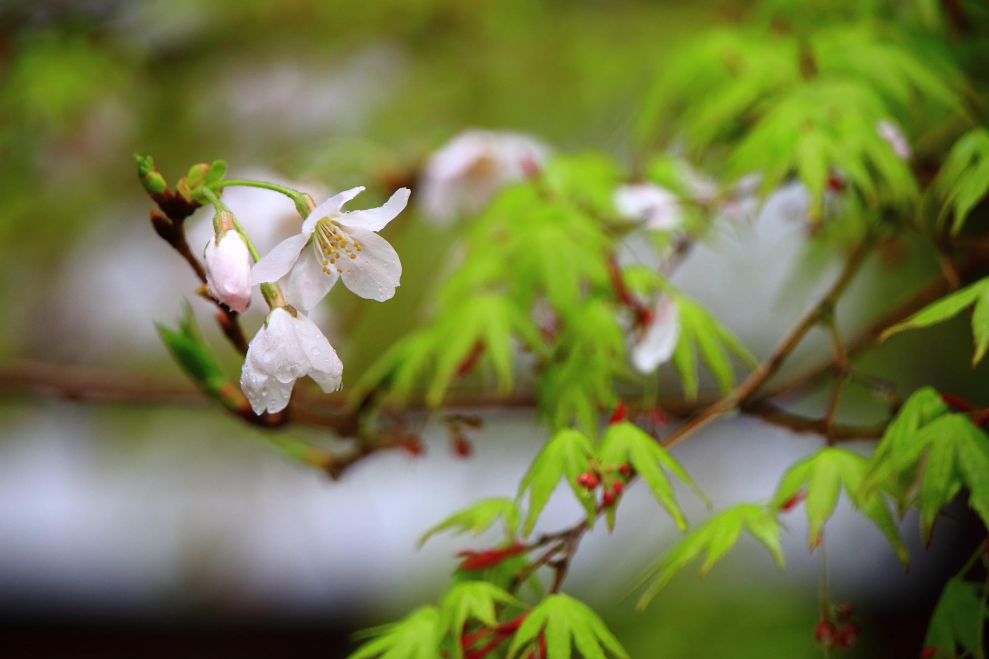 桜 新緑 真如堂 鮮やか 春