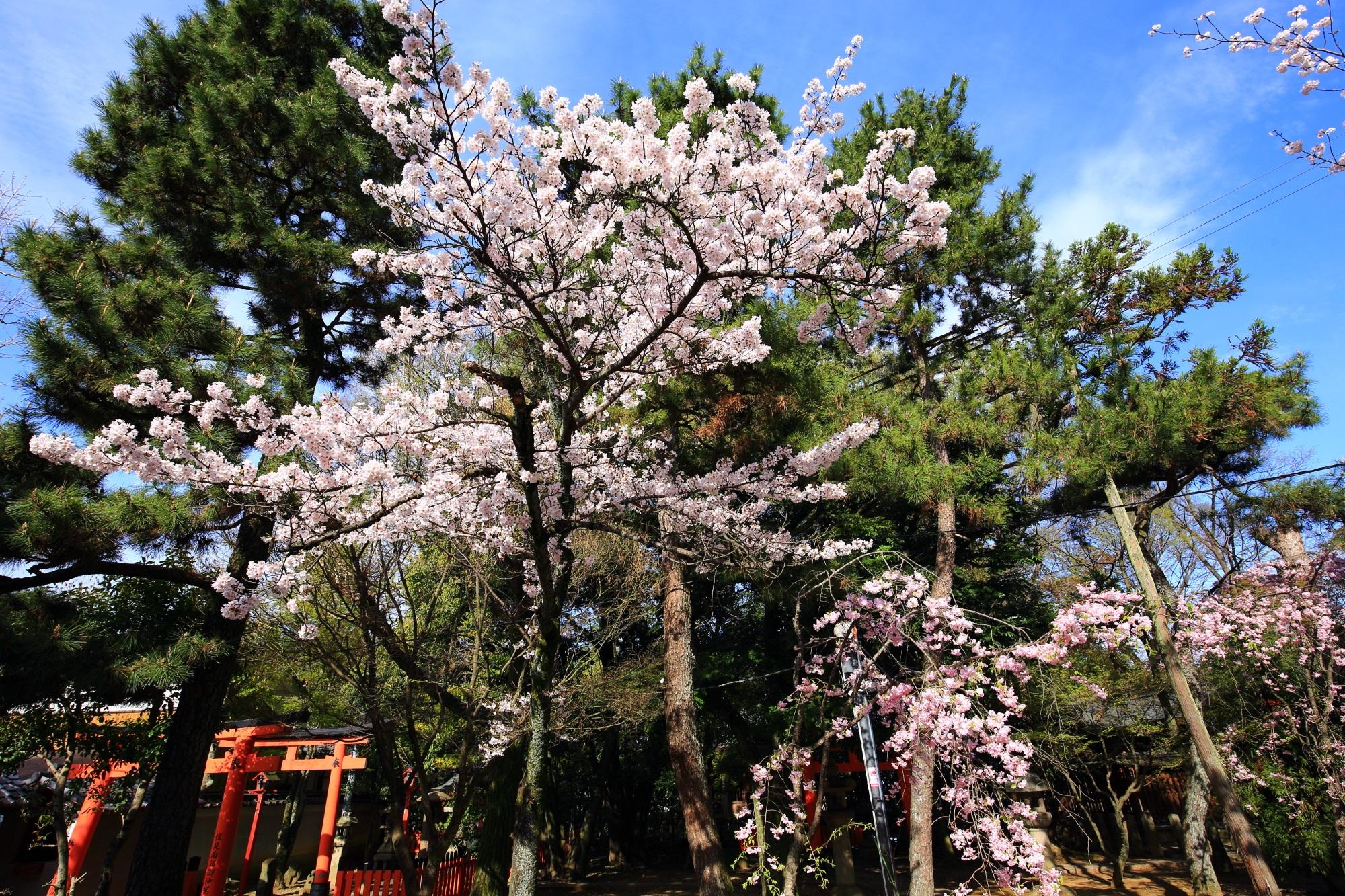 本殿の裏や周りの桜