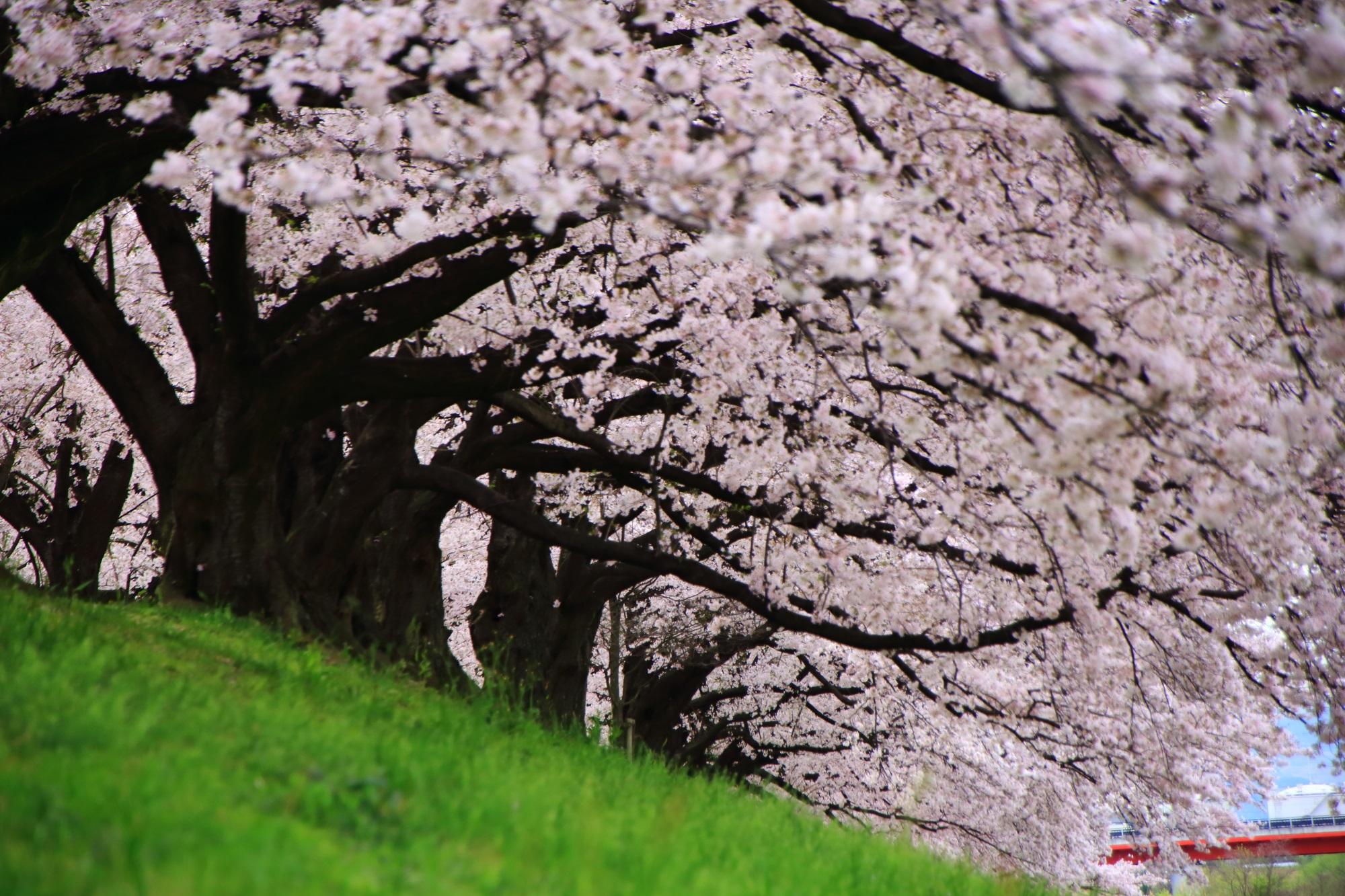 高画質 写真 背割堤 桜