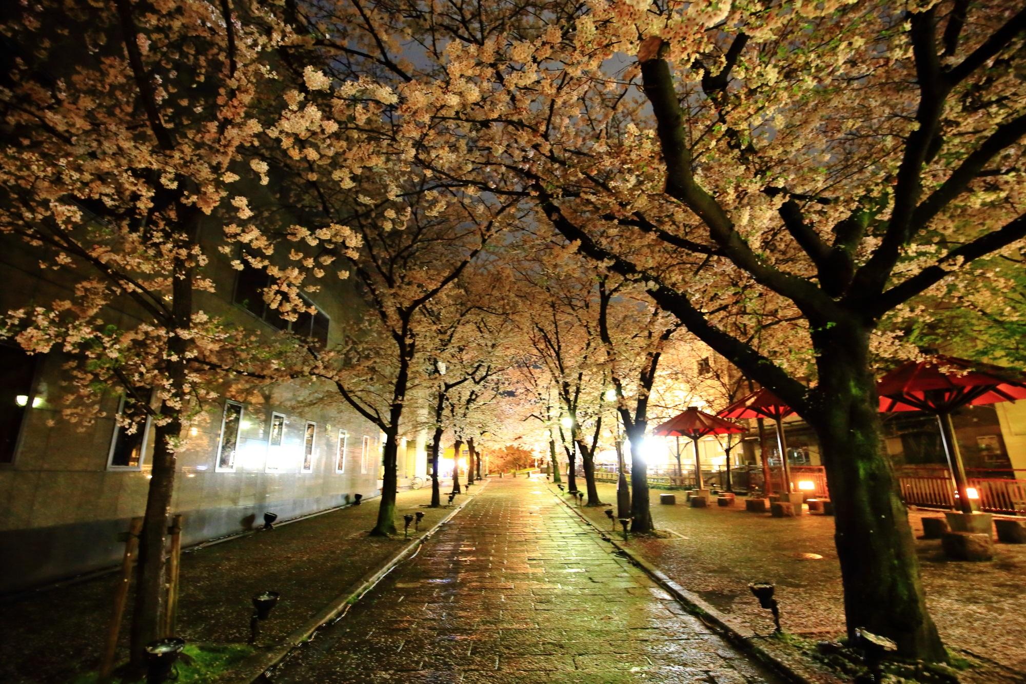 桜の名所の祇園白川の夜明け前の満開の桜